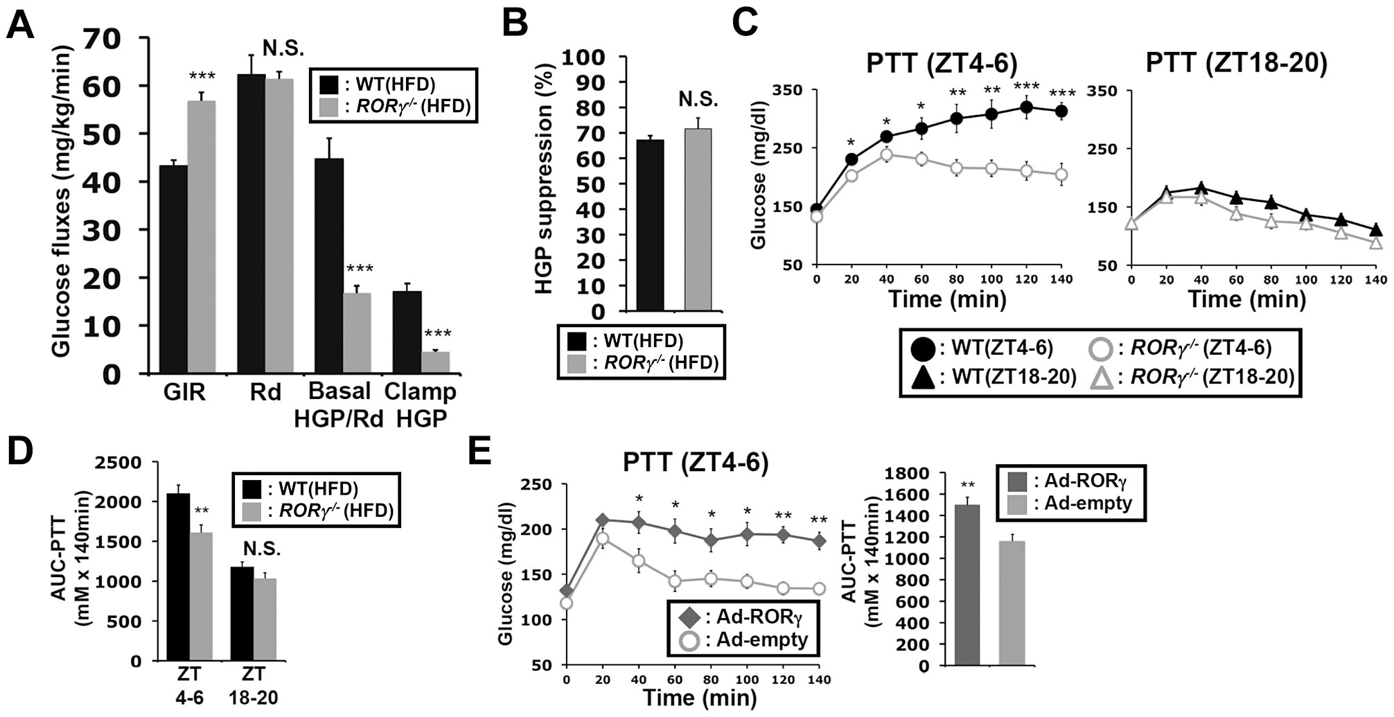Loss of RORγ leads to reduced hepatic gluconeogenesis at daytime.