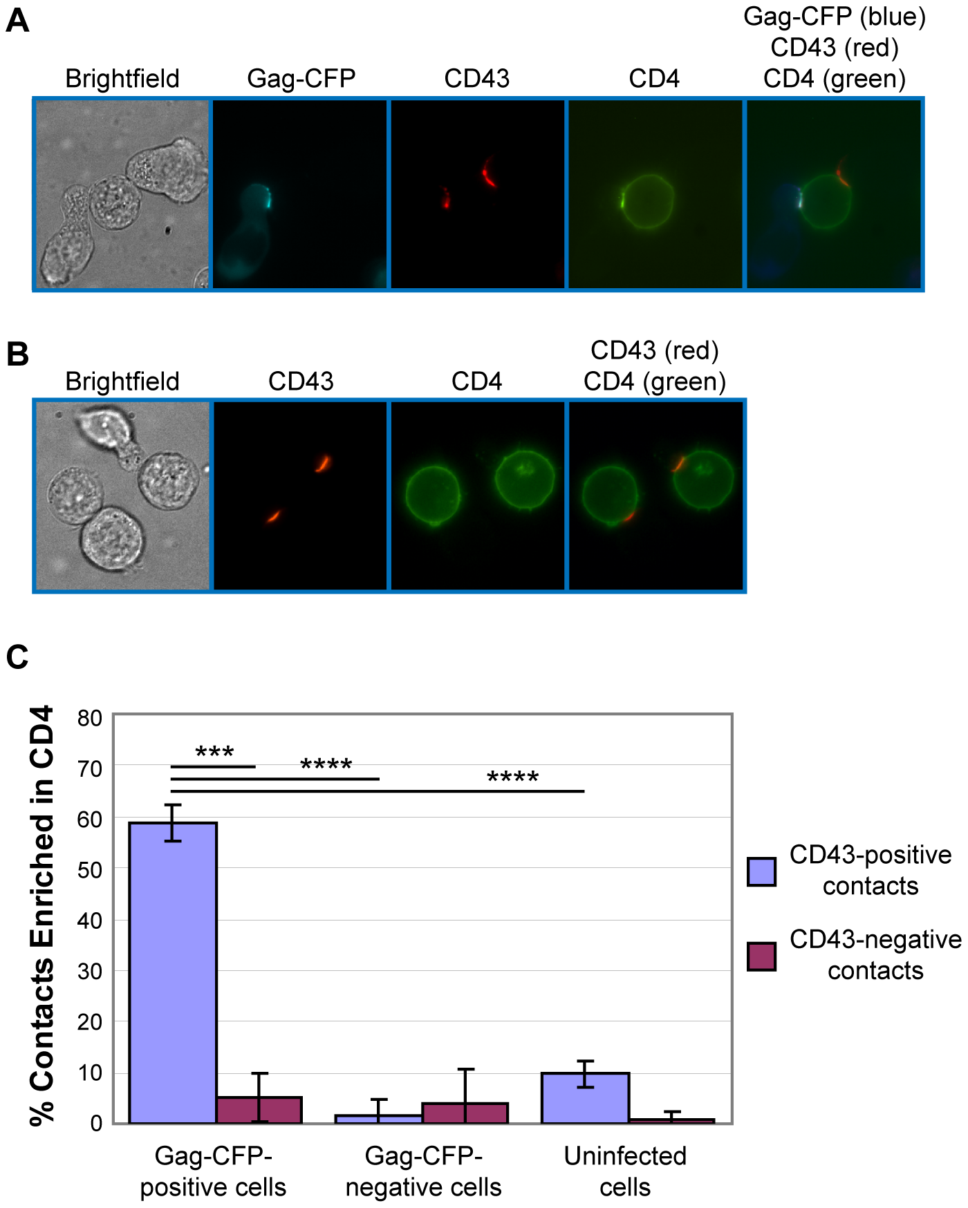 Gag-positive uropods form contacts enriched in CD4.