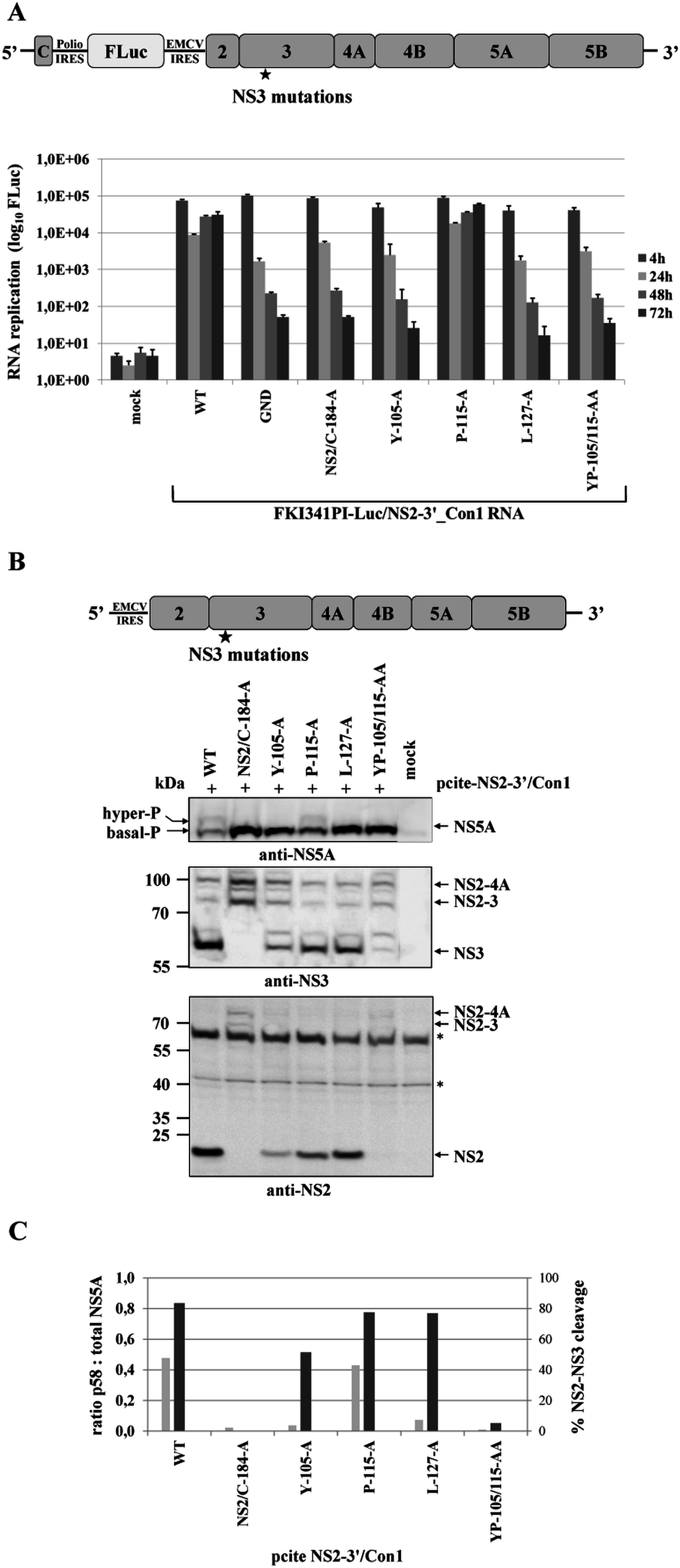 Mutational analysis of NS3 surface residues in a HCV genotype 1b NS2-5B replicon confirm the critical role of efficient NS2-NS3 cleavage for NS5A hyperphosphorylation.