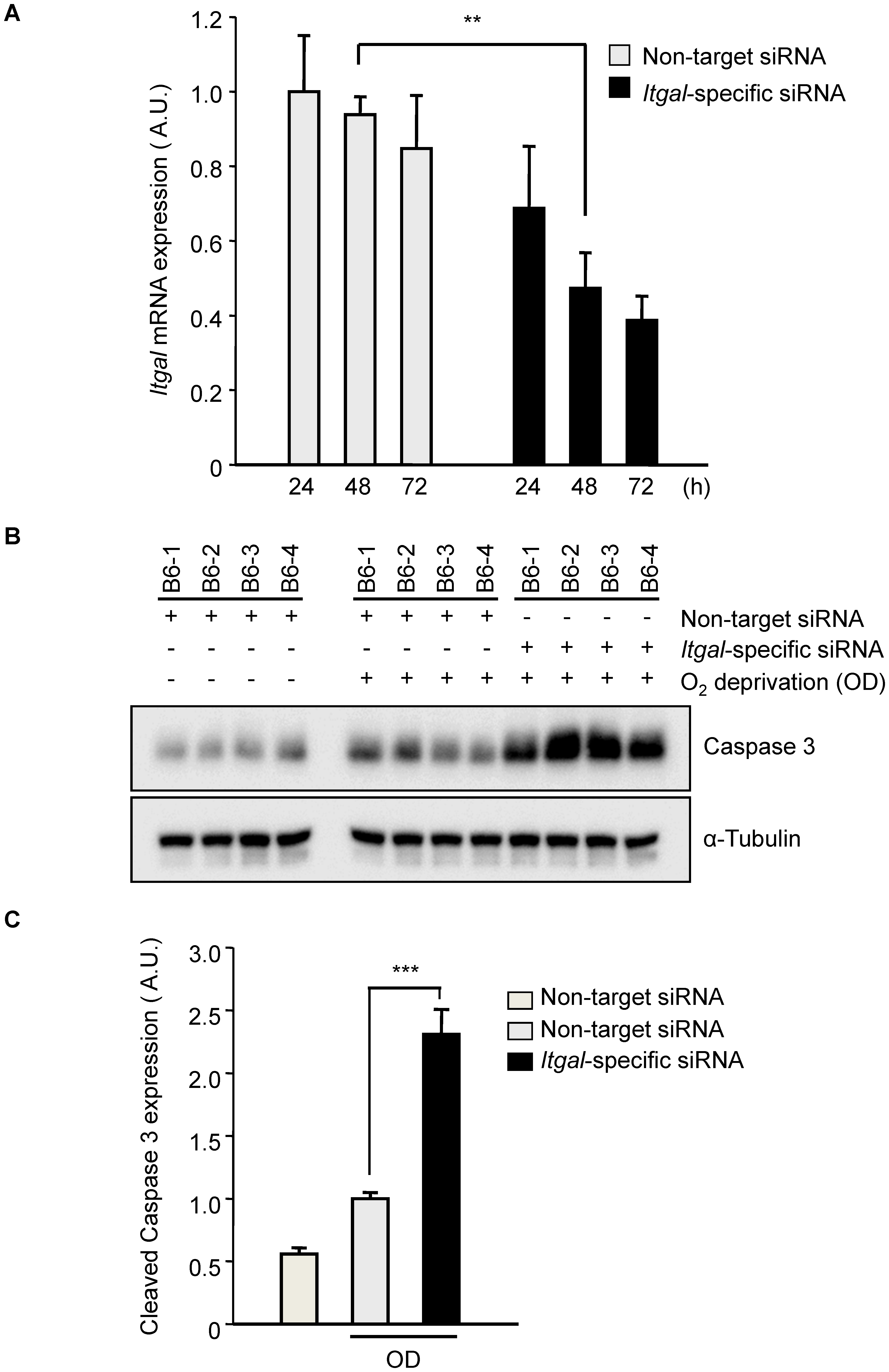 Oxygen deprivation increases cleaved Caspase 3 in an <i>ex vivo</i> brain slice stroke model.