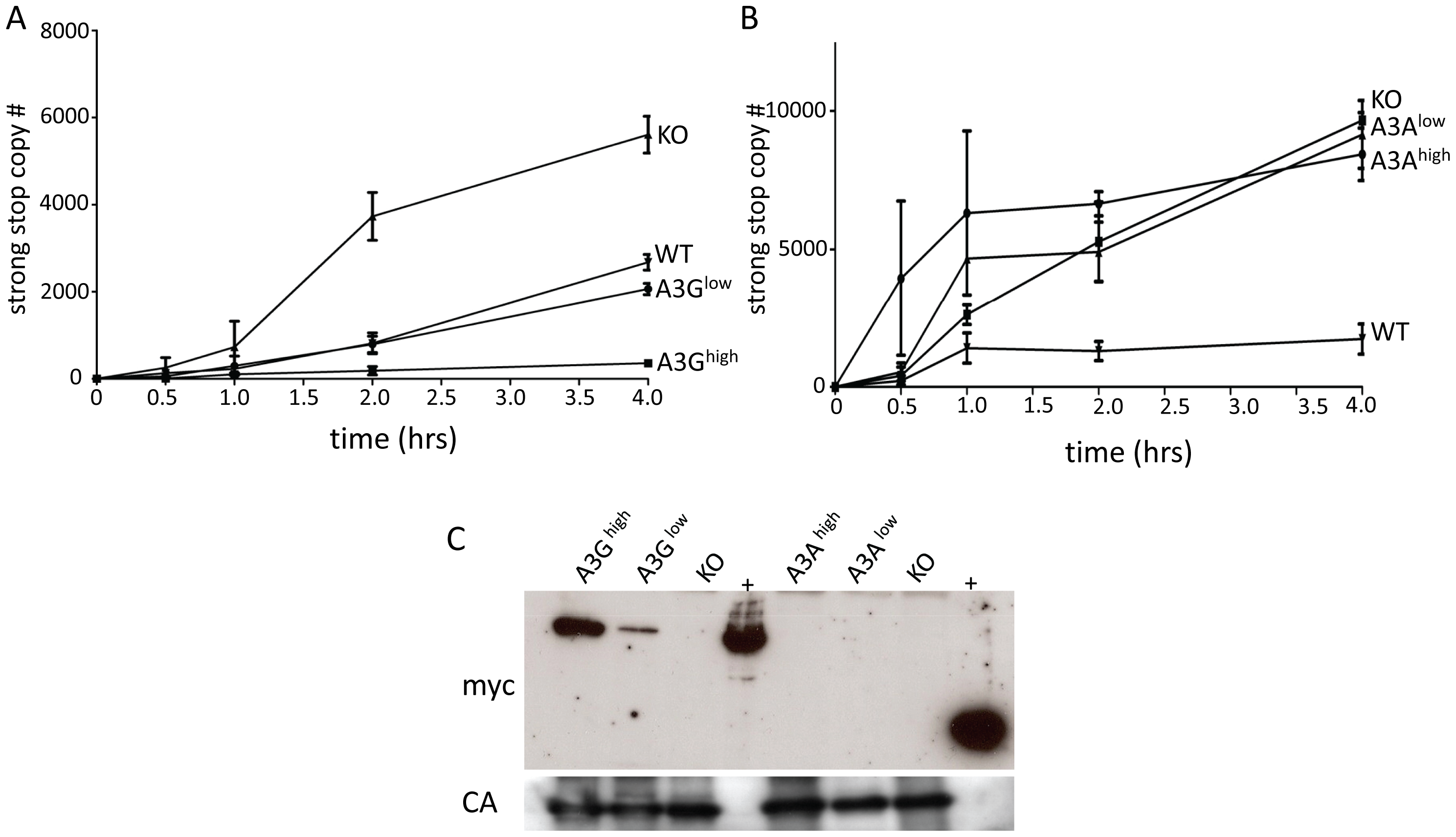 A3G but not A3A is packaged into M-MLV and inhibits reverse transcription.