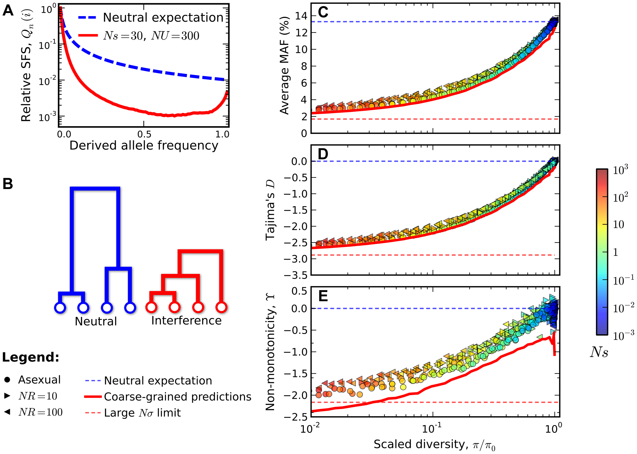 Signatures of pervasive interference selection in the silent site frequency spectrum for a sample of <i>n</i>=100 individuals.
