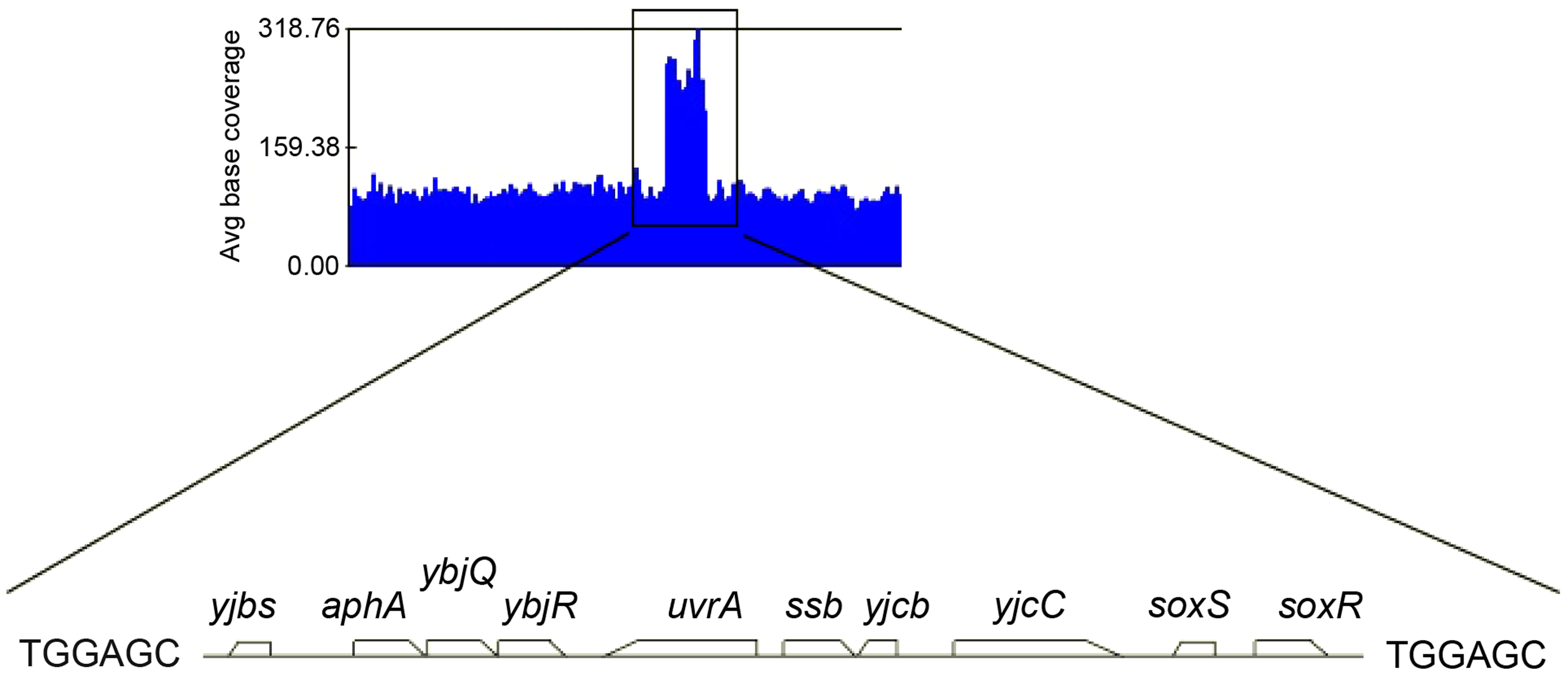 Duplicated sequence in JJC2394.