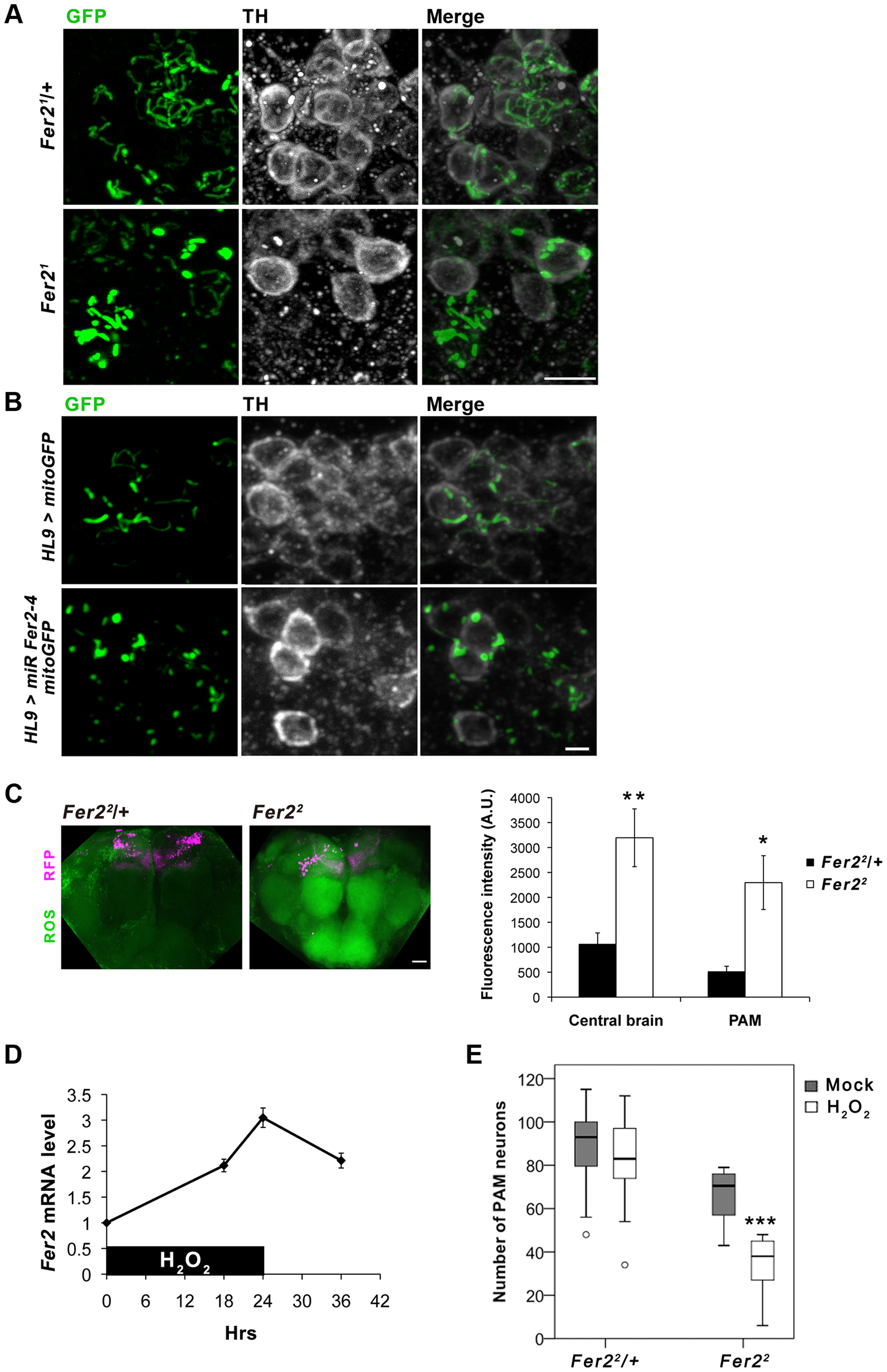 <i>Fer2</i> protects PAM neurons from oxidative stress.