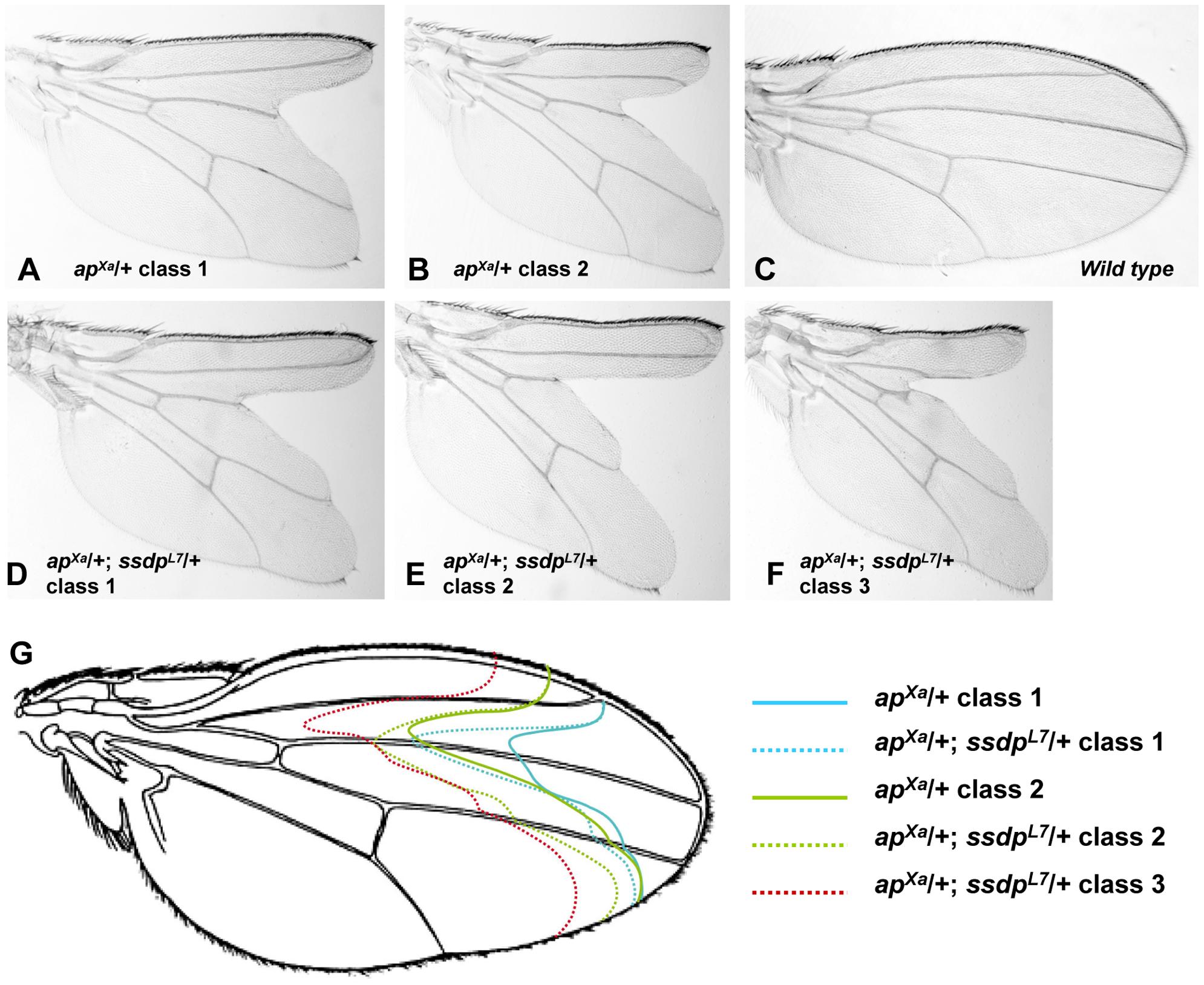 Genetic interaction between <i>ap<sup>Xa</sup></i> and <i>ssdp<sup>L7</sup></i>.