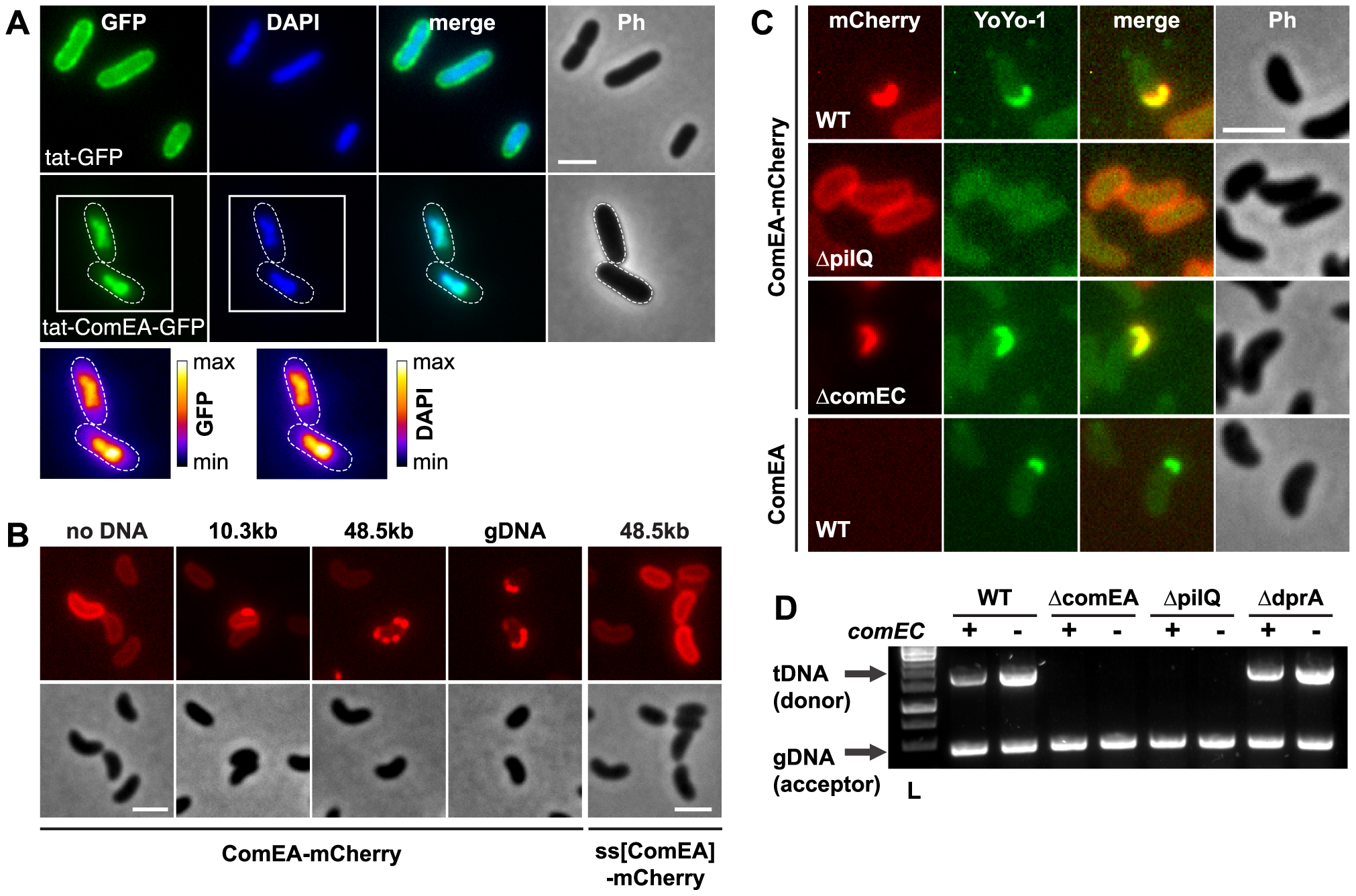 ComEA binds to DNA <i>in vivo</i>.