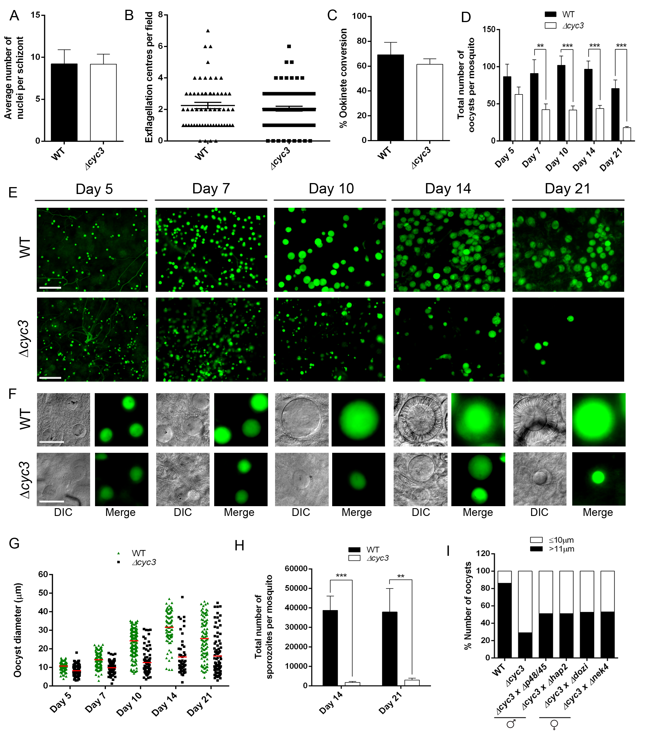 CYC3 is dispensable in asexual and sexual stages but important for oocyst development.