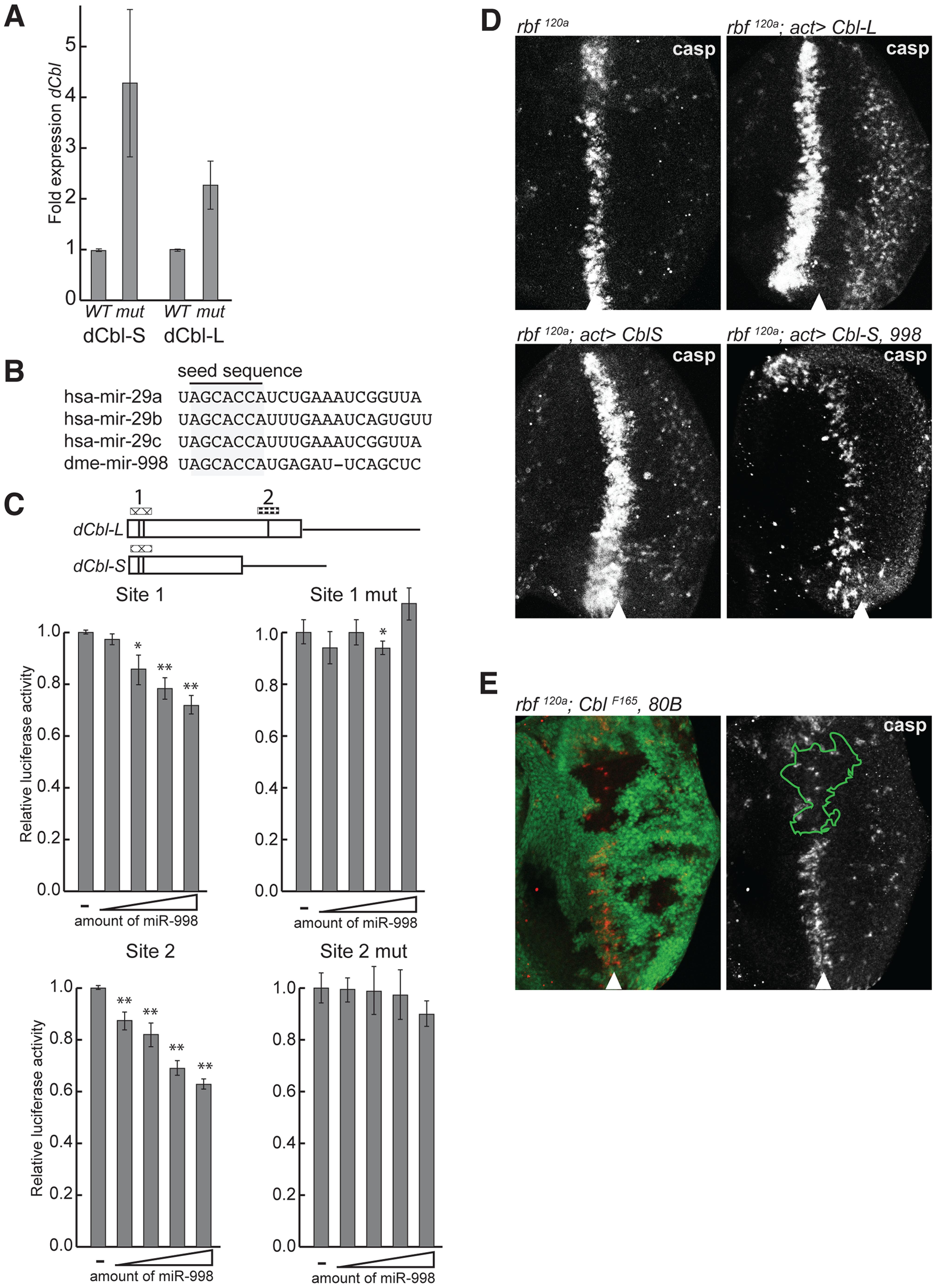 miR-998 enhances EGFR signaling by repressing <i>dCbl</i>.