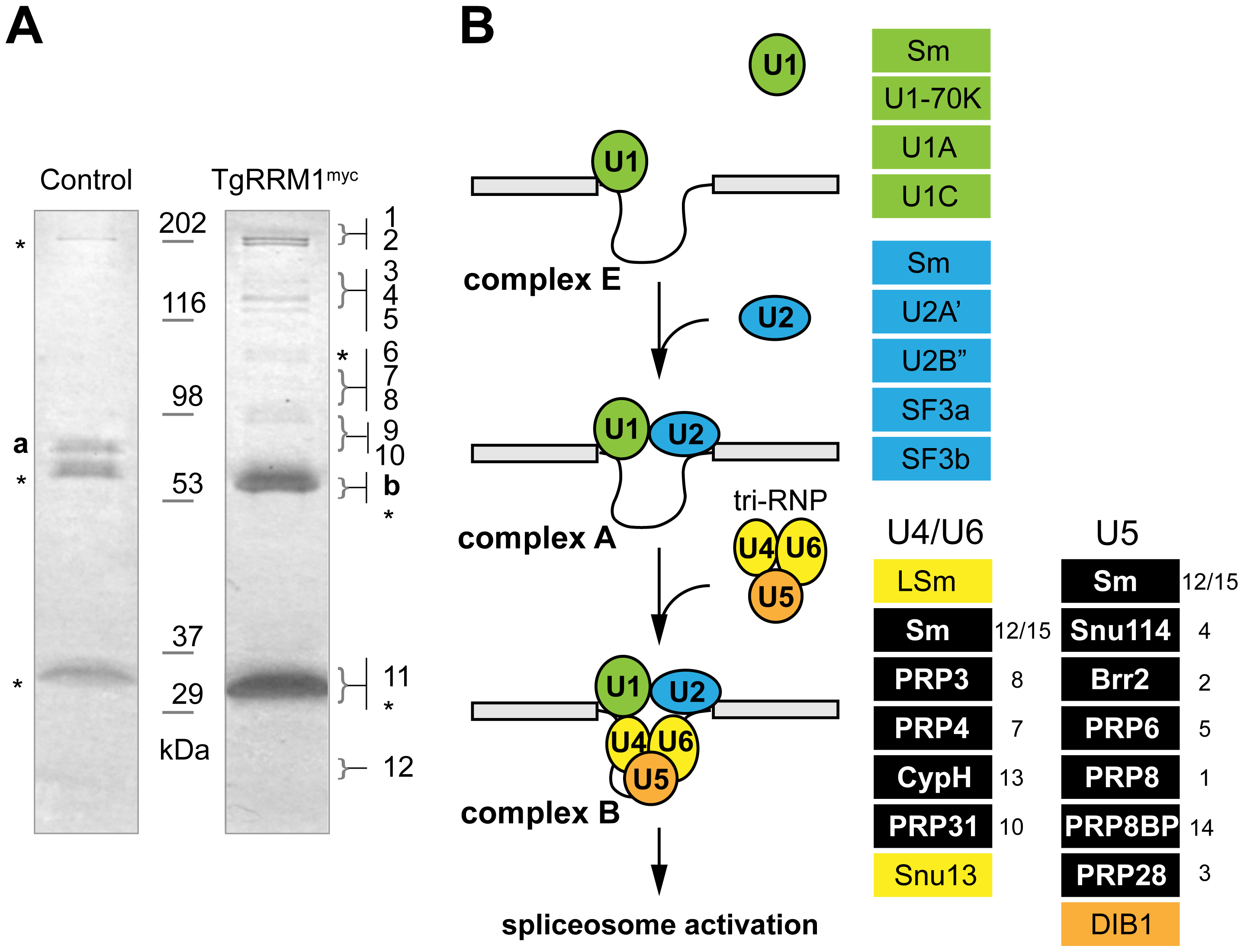 TgRRM1 is associated with U4/U6.U5 subcomplex of the spliceosome.