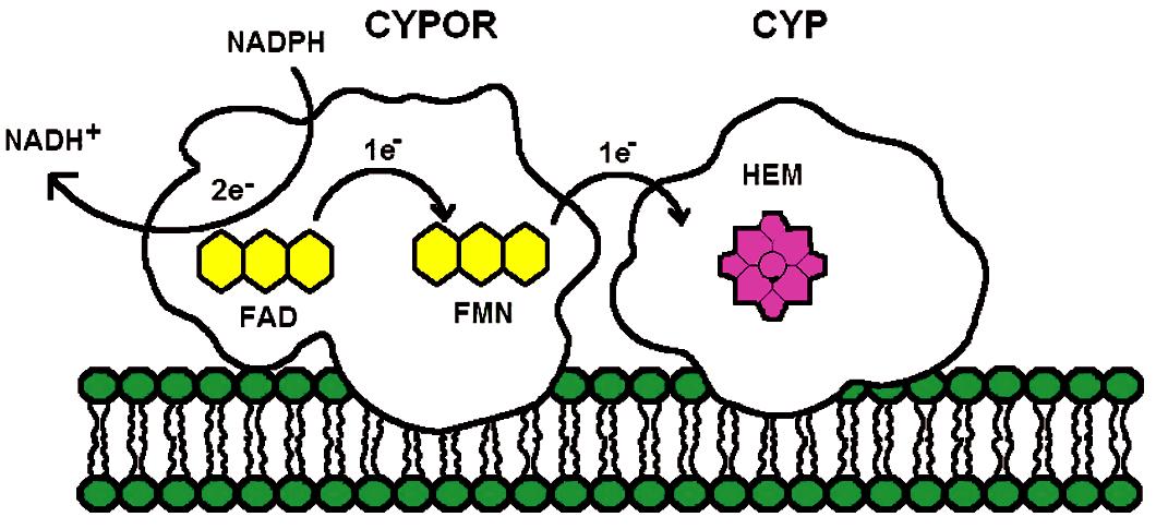 Diagram elektronového transportu z NADPH-cytochrom P450 oxidoreduktáza na mikrozomální cytochromy P450