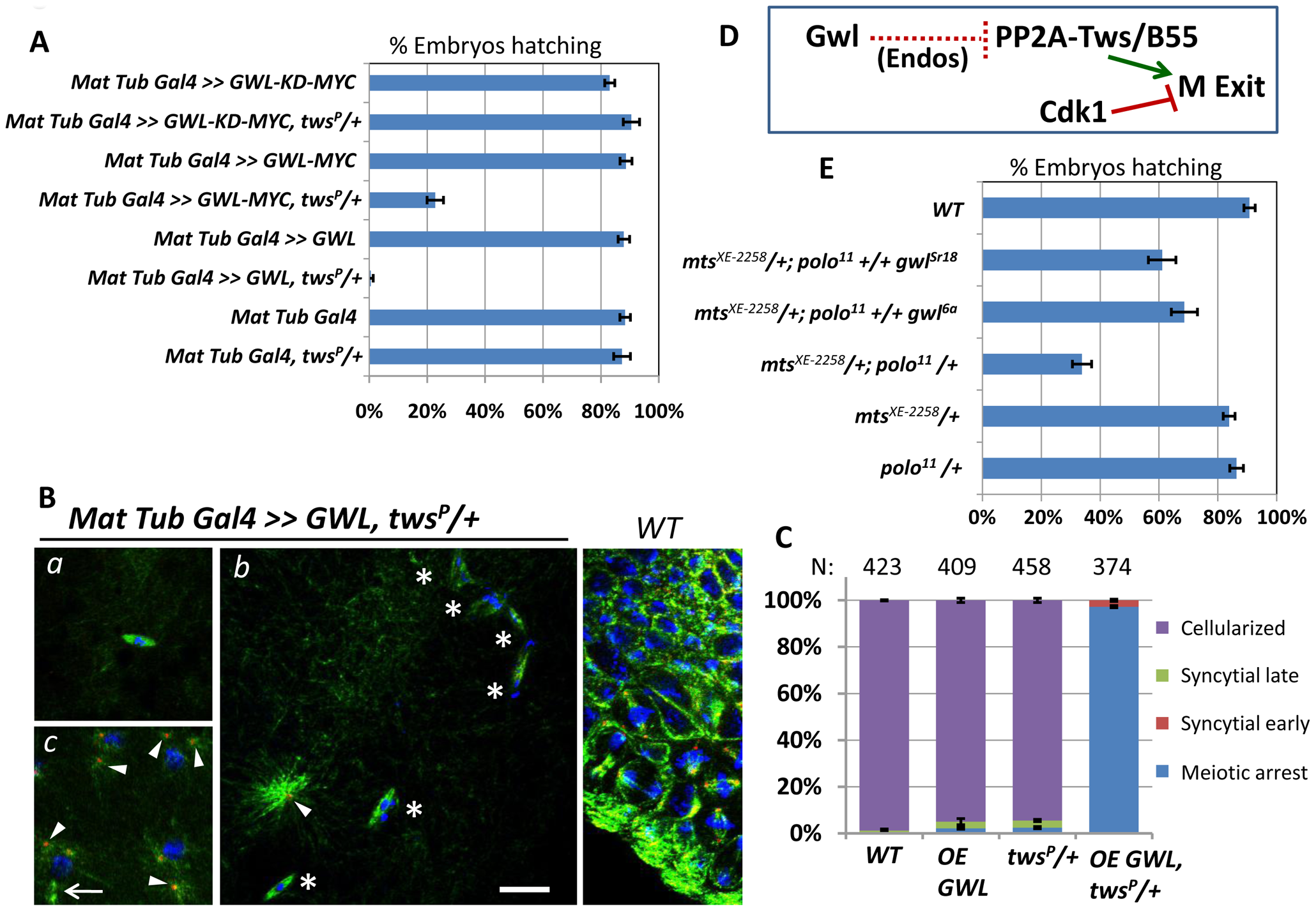 Greatwall antagonizes PP2A-Tws in meiosis and mitosis.