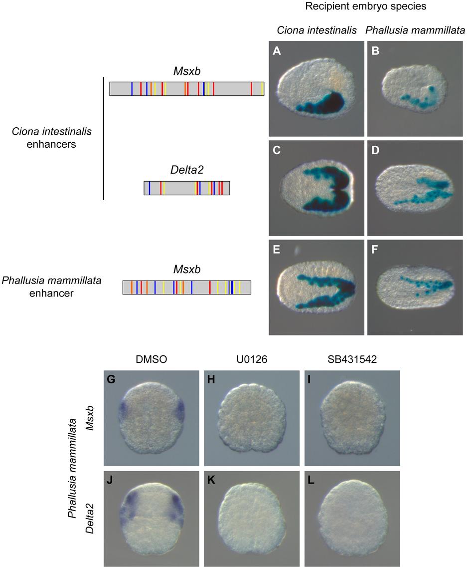 A shared regulatory logic in <i>Ciona intestinalis</i> and <i>Phallusia mammillata</i>.