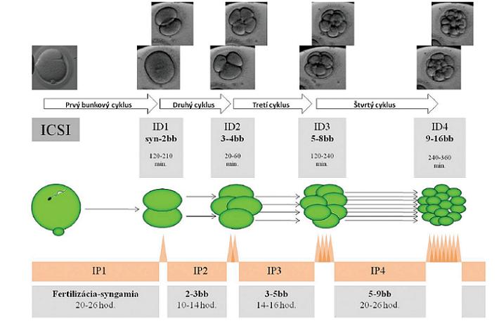 Schematické znázornenie časového priebehu a definovanie prvých 4bunkových cyklov u ľudských embryí, ktorých vývoj viedol k vzniku klinického tehotenstva. Autor obrázkov D. Hlinka