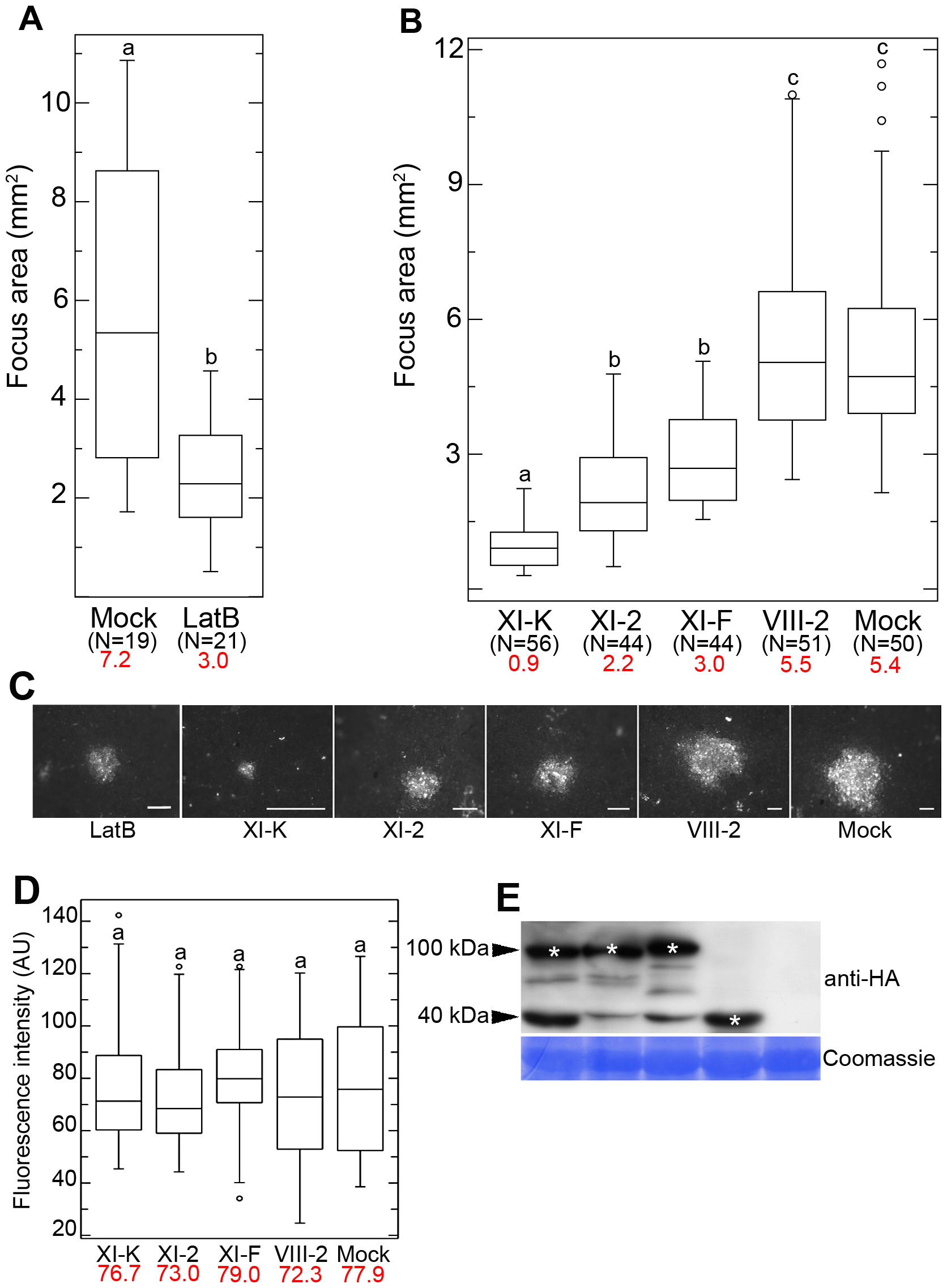 Effects of LatB treatment and myosin tail expression on cell-to-cell movement of GFLV.