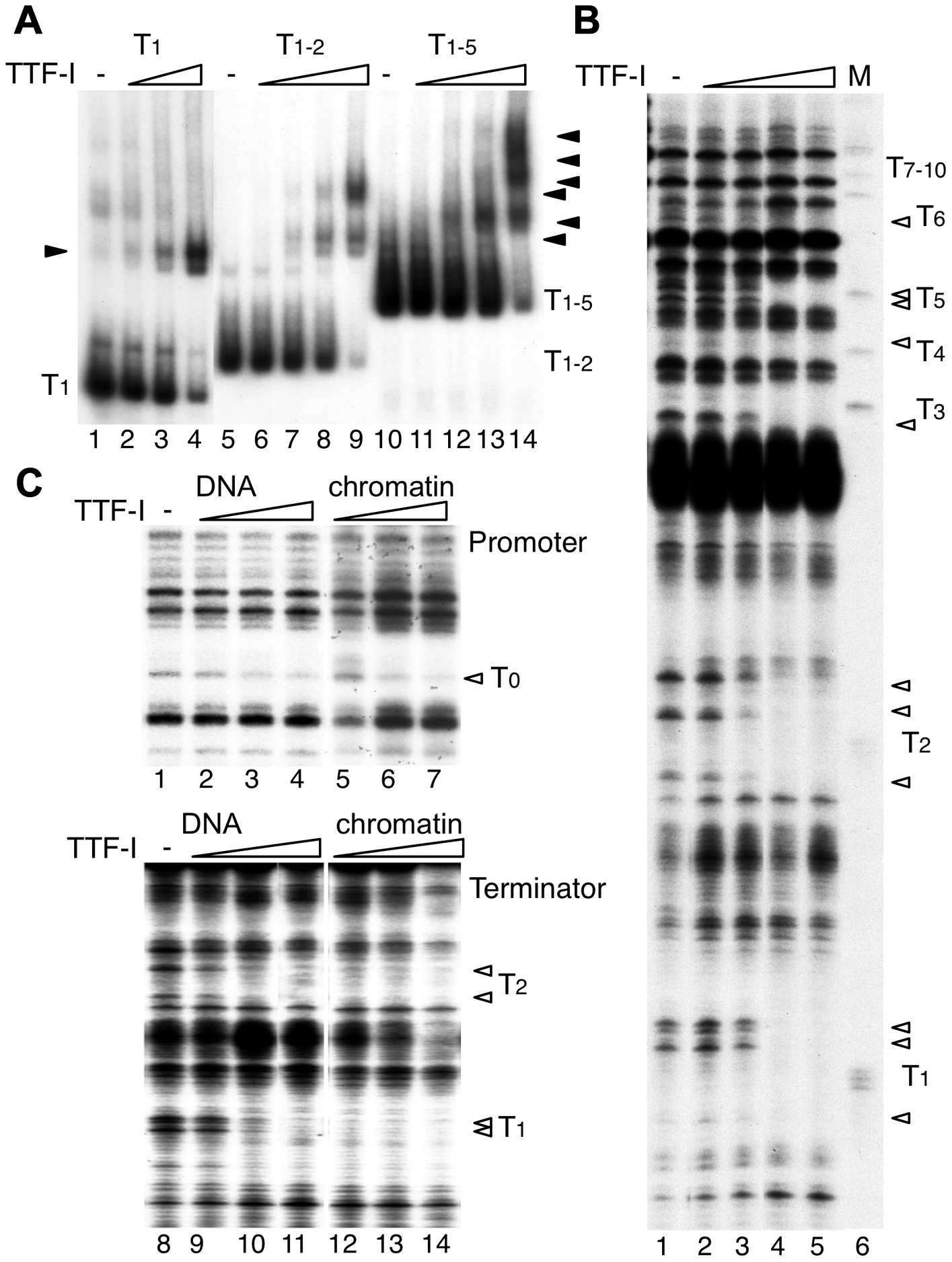 Multiple termination sites enable cooperative binding of TTF-I to chromatin.