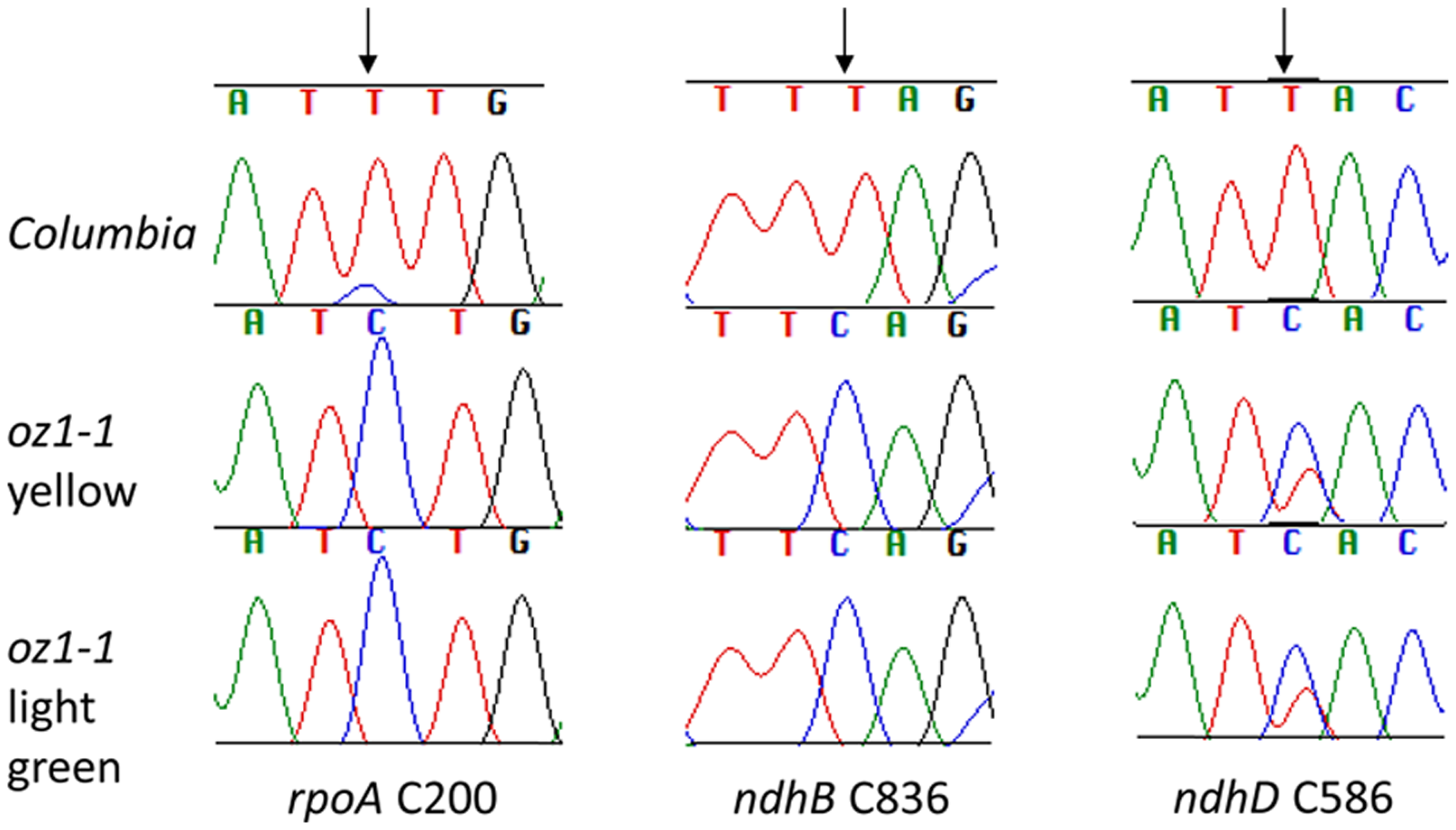 Chloroplast editing is not recovered in light green leaves of <i>oz1–1</i>.