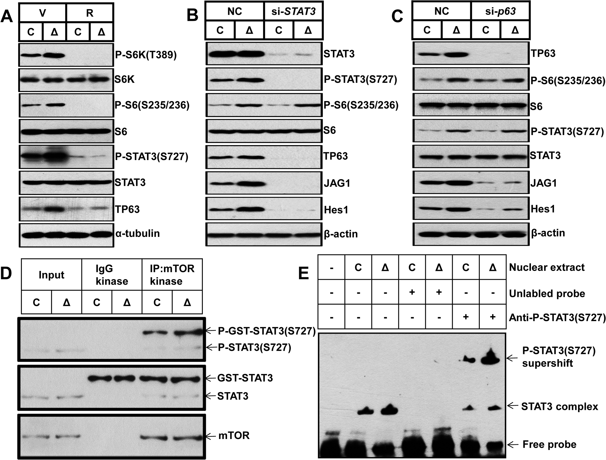mTORC1 impairs osteoblast differentiation through the STAT3/p63/Jagged/Notch cascade upstream of Runx2.