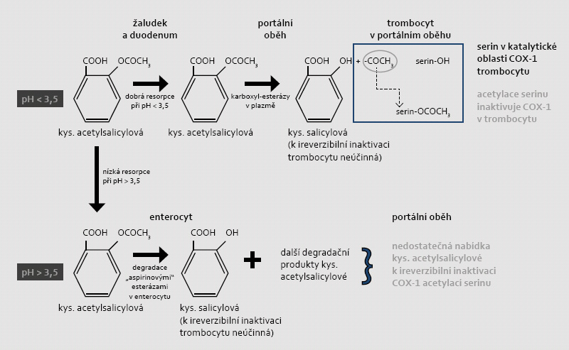 """Mechanizmus ireverzibilní inaktivace COX-1 v trombocytu a závislosti tohoto procesu na vstřebávání a degradaci kyseliny acetylsalicylové v žaludku či ve střevě (při různém pH). Acetylsalicylová kyselina jako slabá hydrofilní kyselina se vstřebává zejména v nedisociovaném stavu. Při hodnotě disociační konstanty pKa = 3,5 se ASA spolehlivě resorbuje v kyselém prostředí (při pH < 3,5), tj. v žaludku či v proximálním duodenu. Není-li kyselina acetylsalicylová vstřebána v žaludku, je ve střevě deacetylována """"aspirinovými"""" esterázami na kyselinu salicylovou (lipofilní molekulu),  která se již dobře resorbuje ve střevě. Salicylová kyselina také snižuje aktivitu COX-1 a COX-2, ale tato inhibice je jen krátkodobá a reverzibilní. Její protidestičkový účinek není doložen. Vzhledem k dominující degradaci ASA ve střevě je resorpce v prostředí pH > 3,5 nepředvídatelná a předpokládá se, že koncentrace v portálním oběhu je pod účinnou hladinou. Za fyziologických podmínek při dostatečné resorpci ASA v kyselém prostředí dochází k acetylaci COX-1 ještě v portálním oběhu; v játrech je totiž rozhodující část ASA degradována na kyselinu salicylovou."""