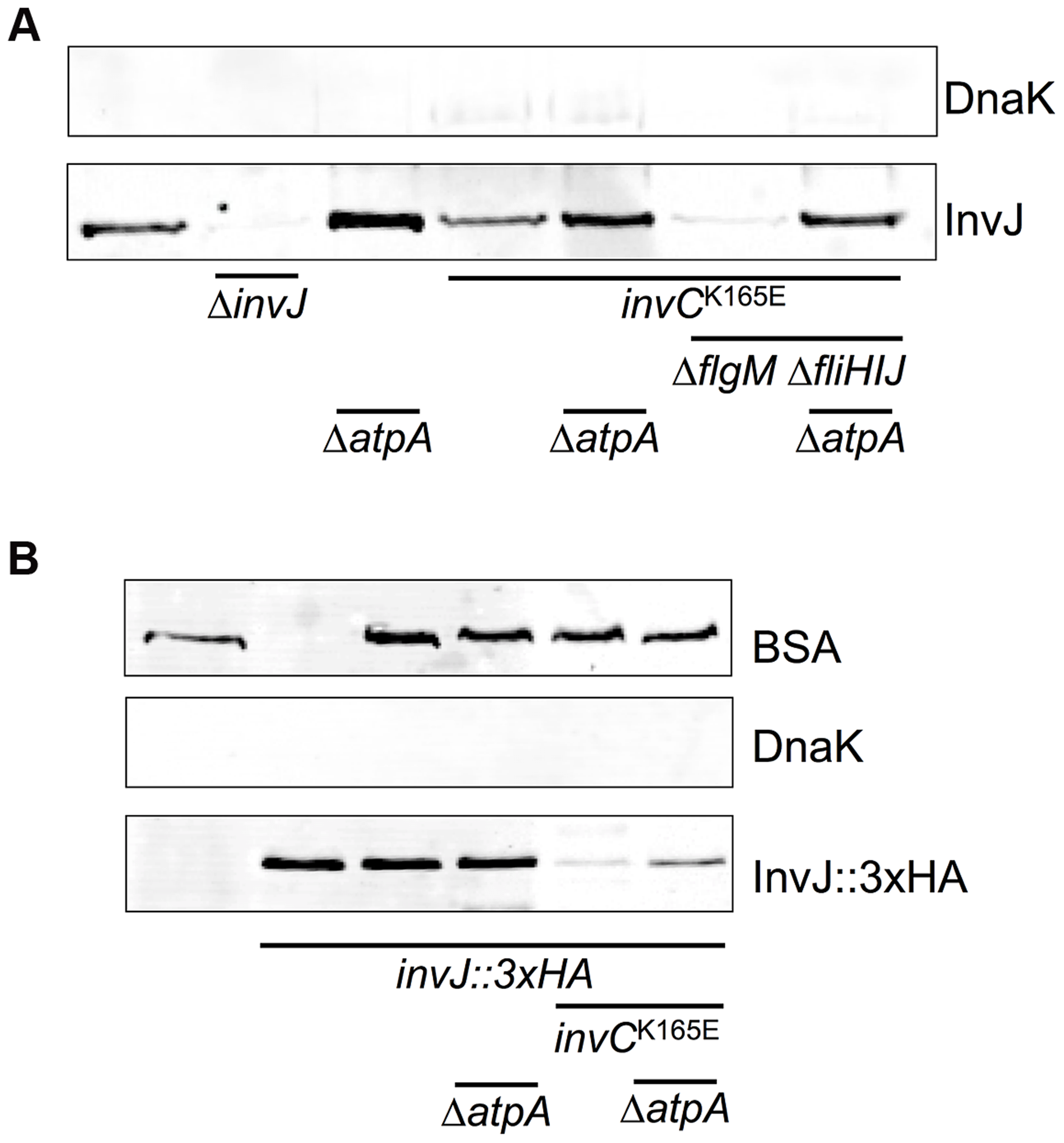 Protein secretion via the vT3SS in a catalytically-inactive ATPase mutant strain is rescued by deletion of <i>atpA</i>.