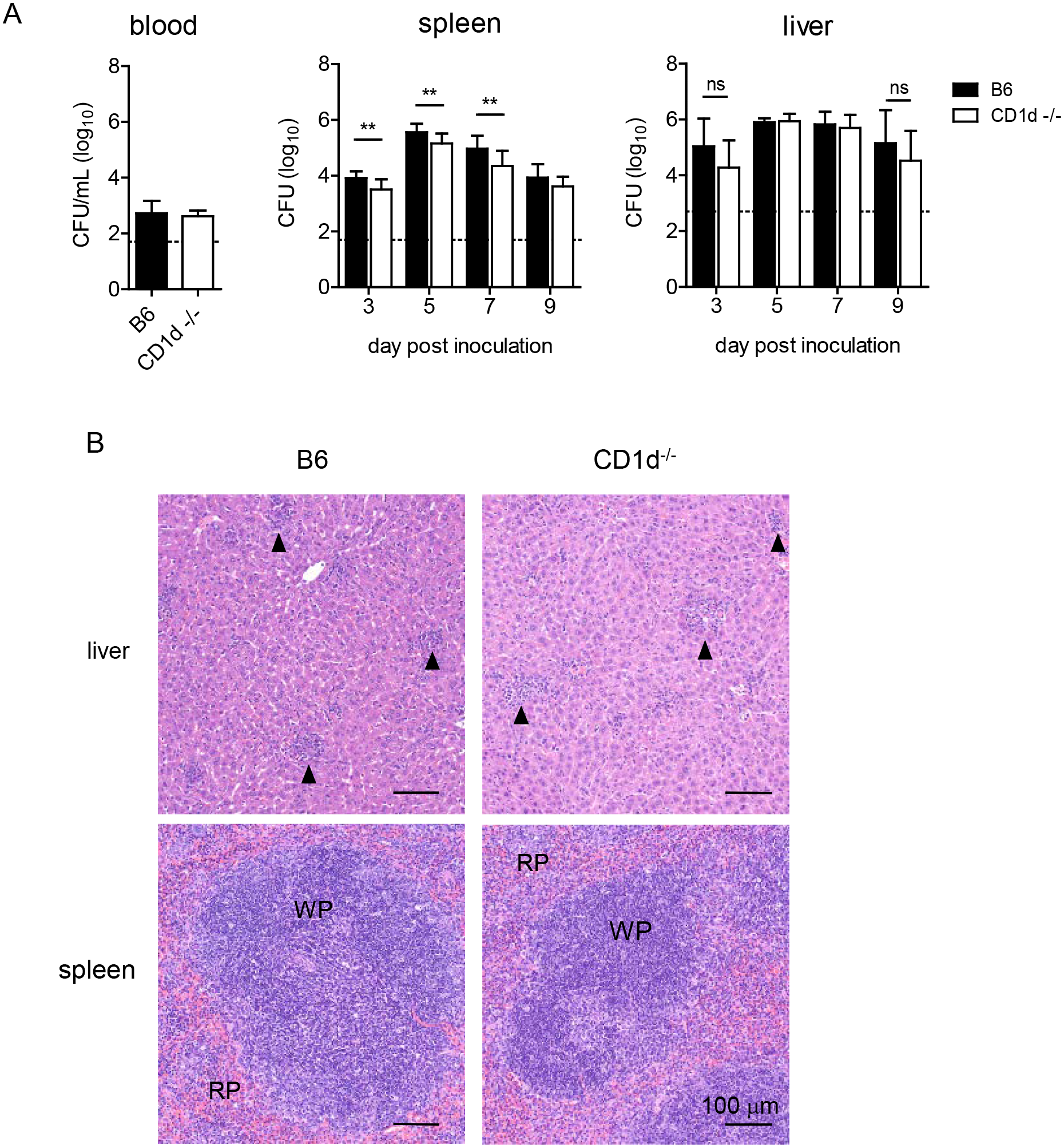 CD1d<sup>-/-</sup> mice have reduced splenic LVS burden but no difference in the liver.
