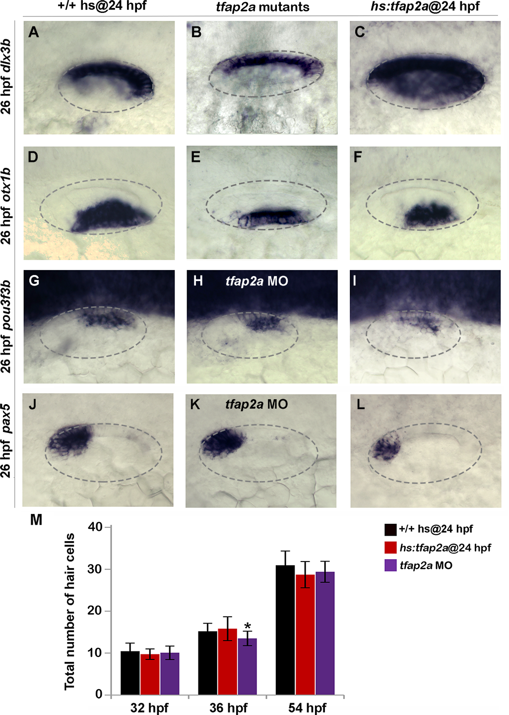 Effects of <i>tfap2a</i> knockdown and overexpression on otic vesicle patterning.
