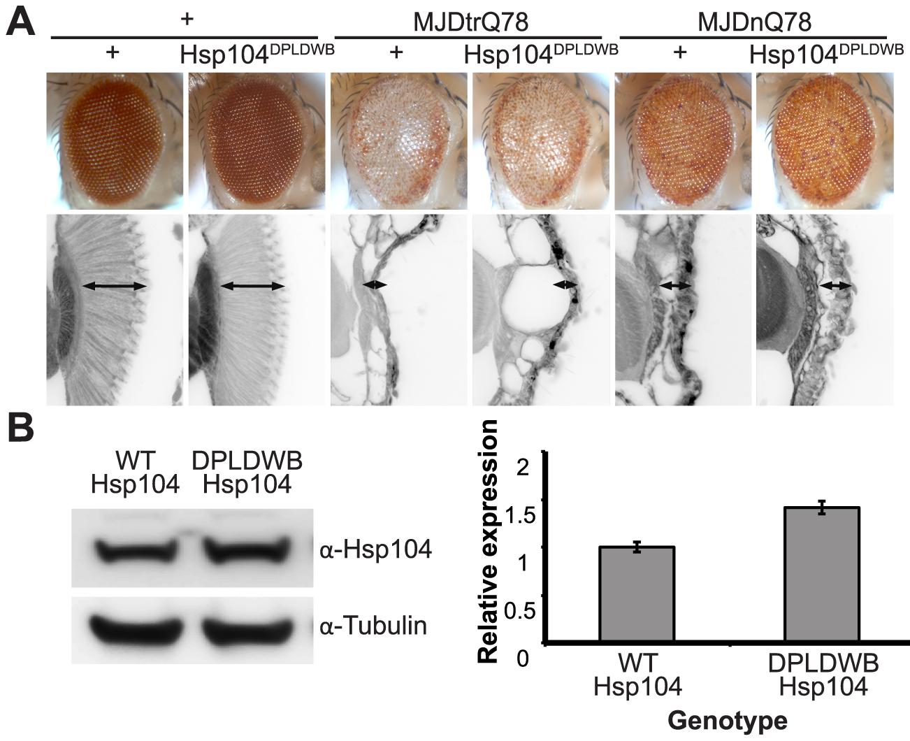 ATPase activity and substrate binding are required for Hsp104 to modulate disease.