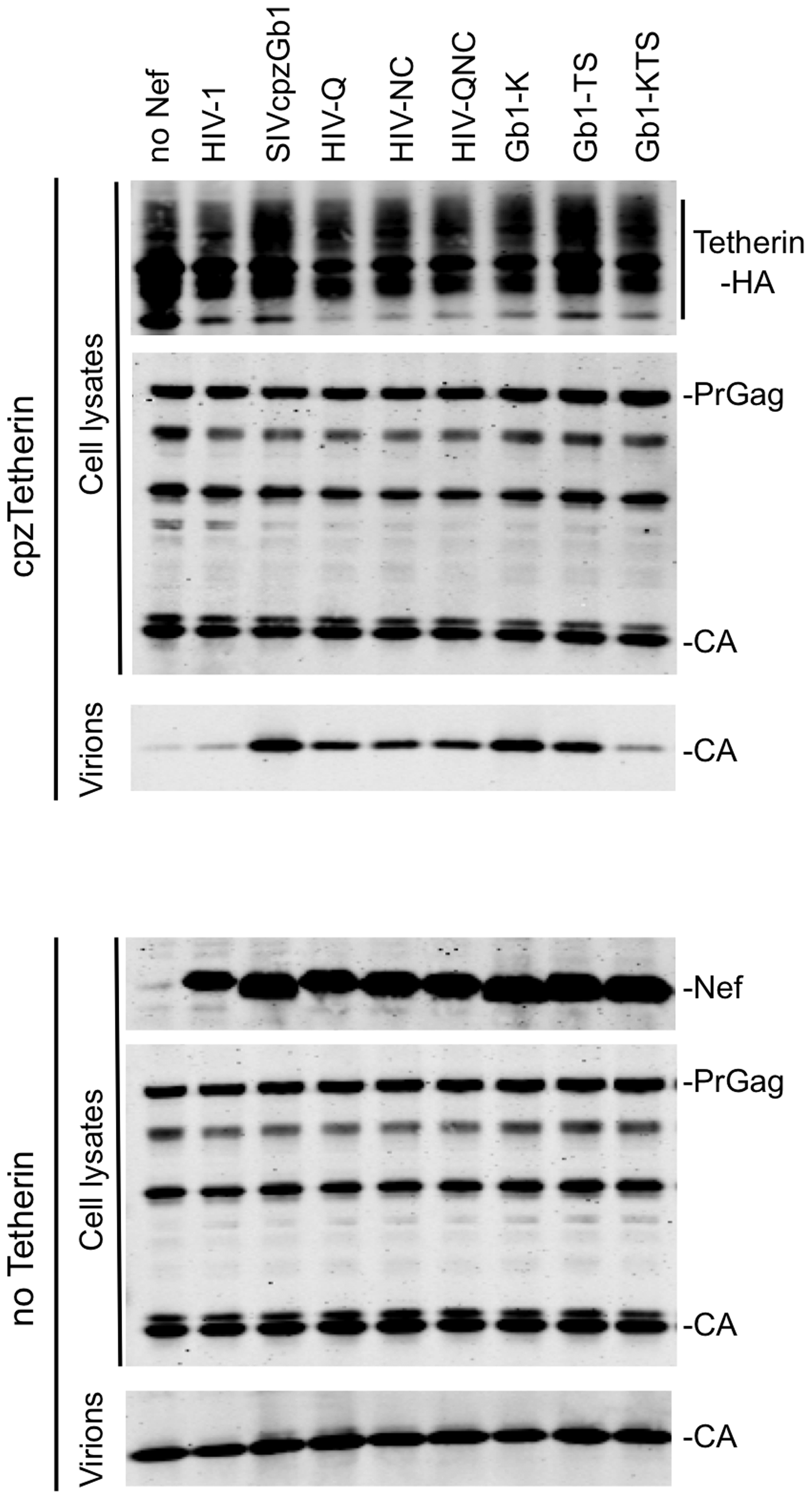 Identification of Nef amino acids important for Tetherin antagonism.