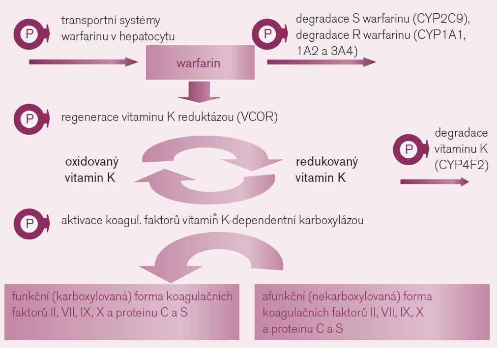 Mechanizmus účinku warfarinu a polymorfizmy ovlivňující farmakodynamickou odpověď a farmakokinetiku warfarinu.