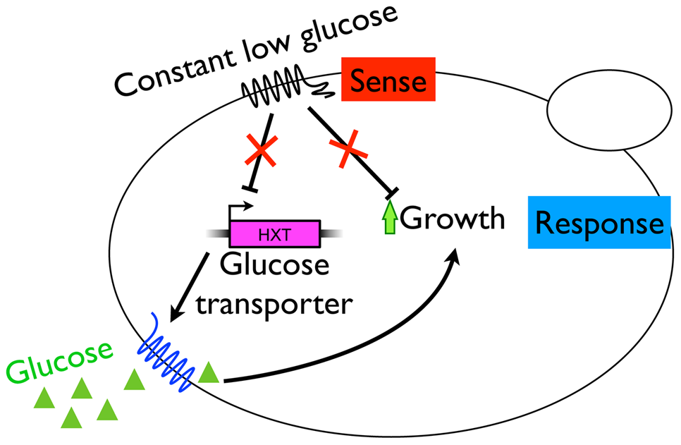 A model for adaptive strategy in the constant, glucose-limited environment of the chemostat.