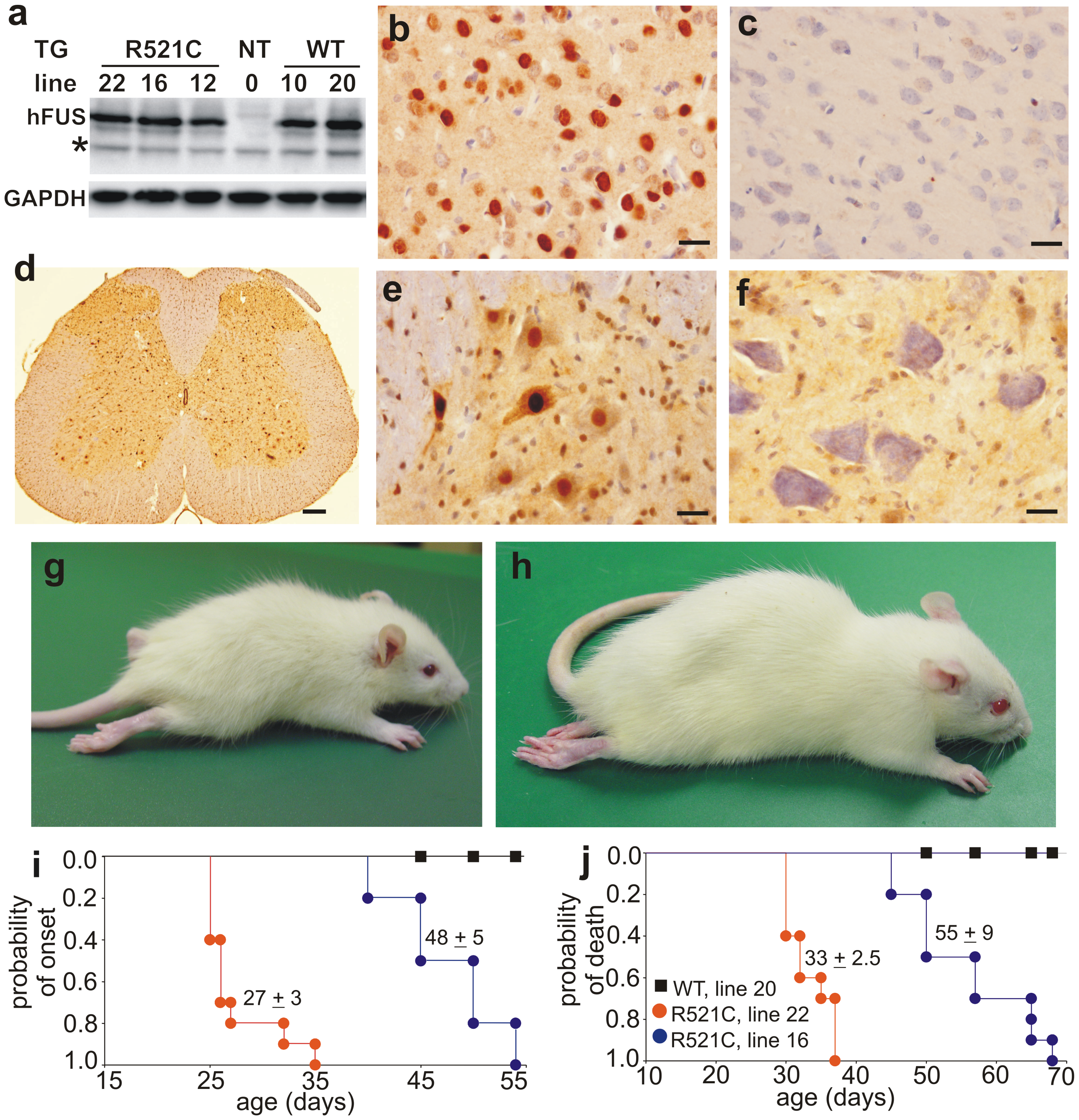 Progressive paralysis in transgenic rats overexpressing a mutant human FUS.