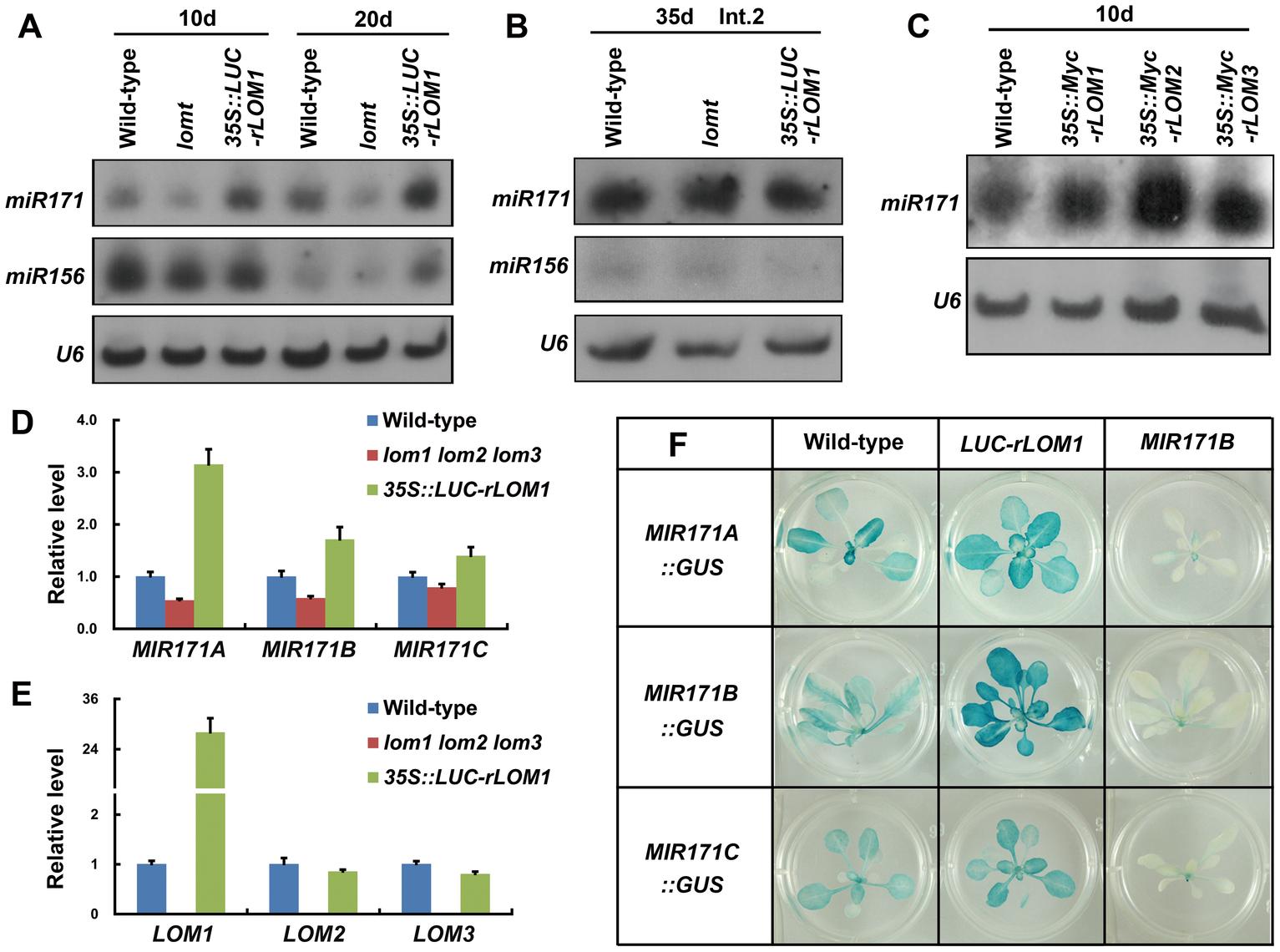 LOMs regulate <i>MIR171</i> expression.