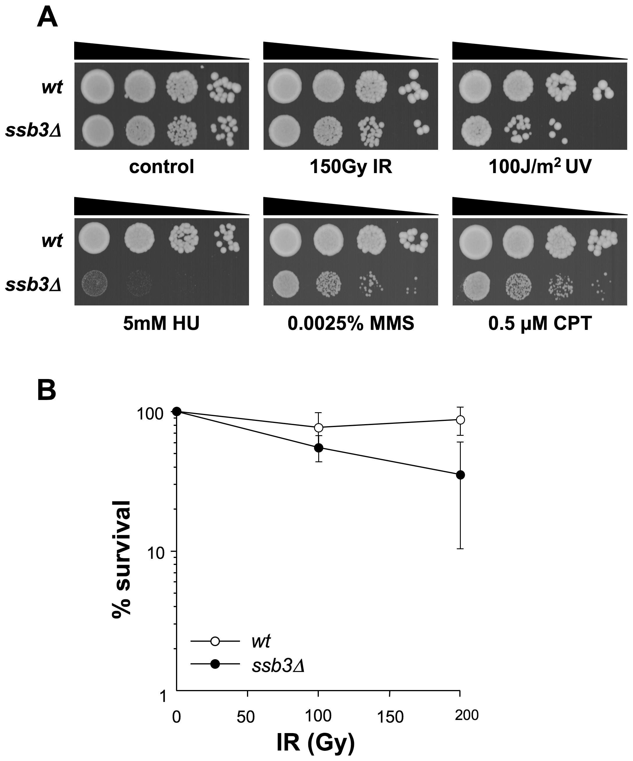 Genotoxin sensitive phenotypes of <i>ssb3Δ</i> mutants.