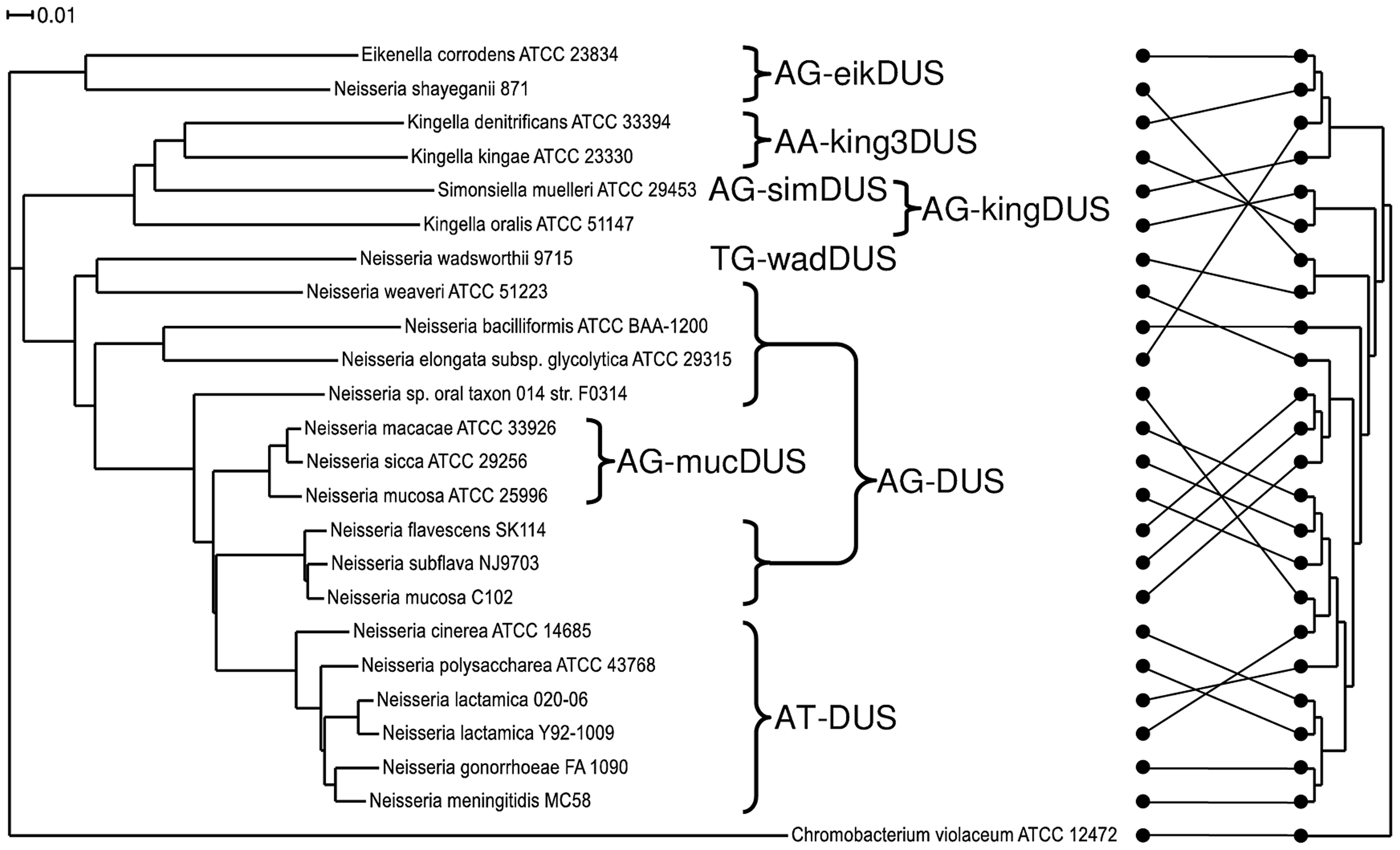 Phylogenetic tree based on the core genome and DUS dialect distribution.
