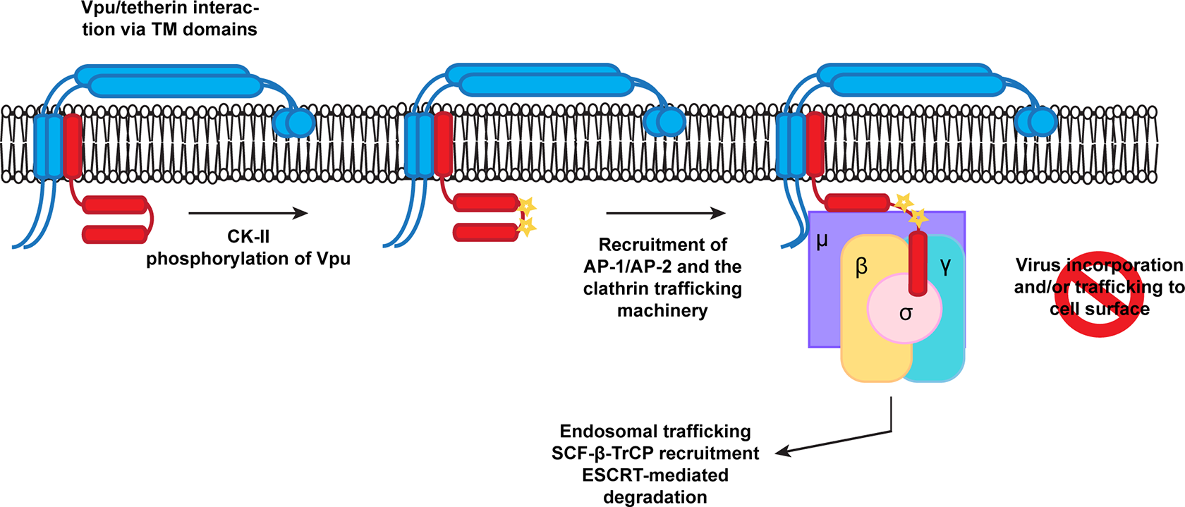 A proposed model for Vpu engagement of clathrin adaptors during tetherin counteraction.