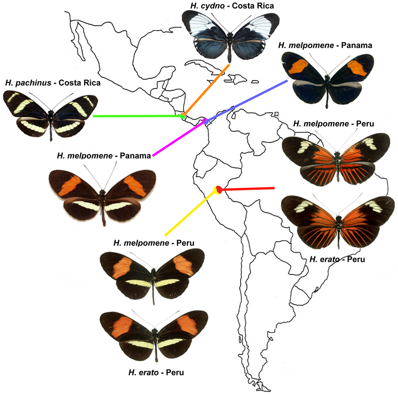 Three natural hybrid zones between parapatric populations of different <i>Heliconius</i> species.