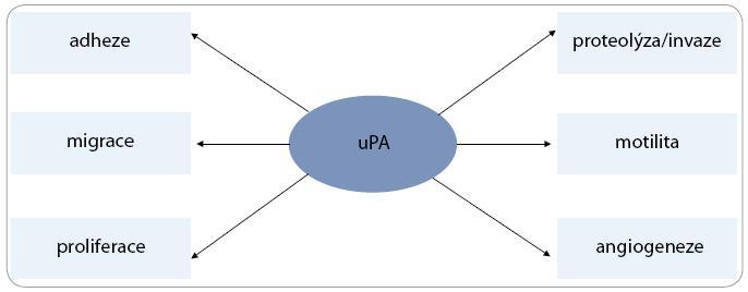Multifunkční potenciál uPA<sup>53</sup>.