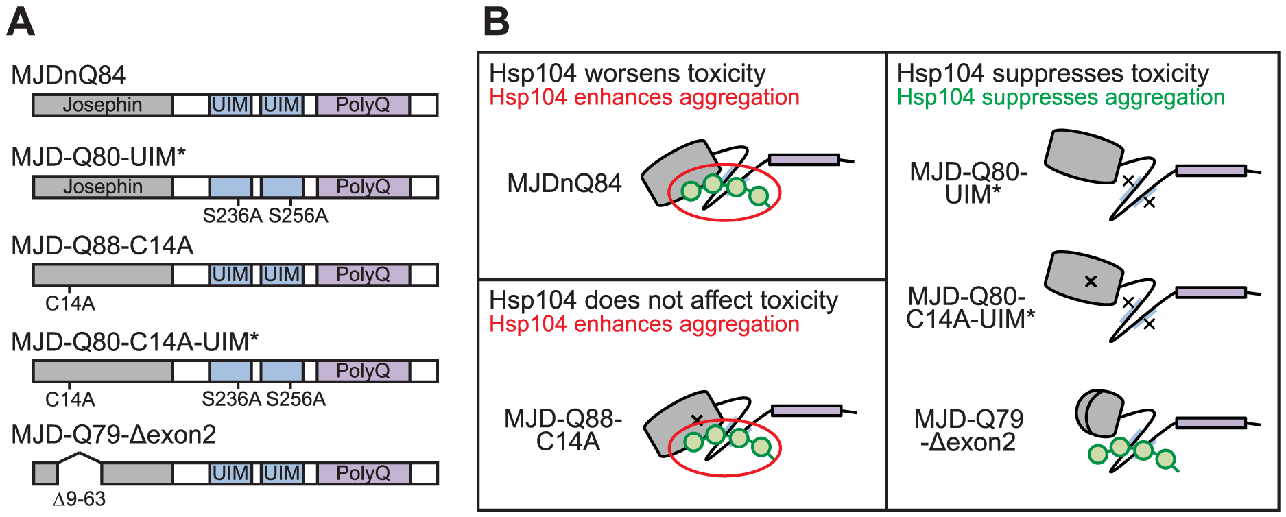 Model of MJD domain contribution to the interaction with Hsp104.