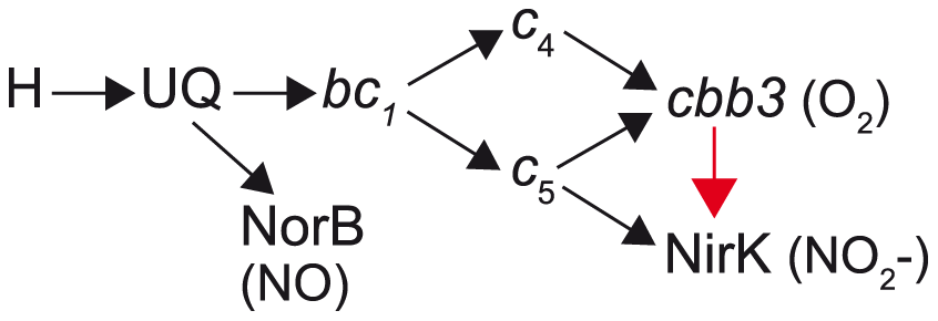 Proposed pathway for electron transfer from NADH to nitric oxide, oxygen and nitrite in <i>N. meningitidis</i> and <i>N. gonorrhoeae</i>.