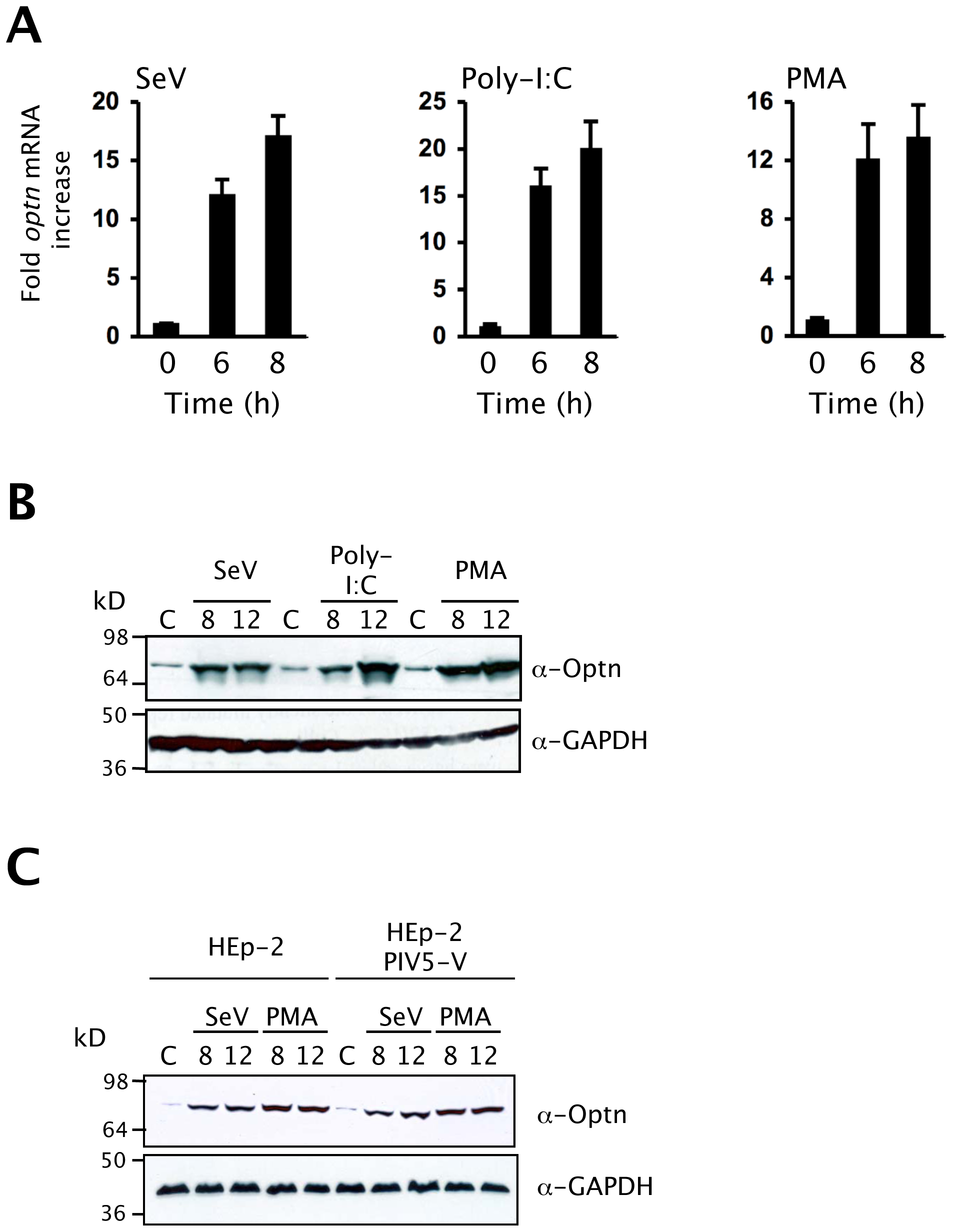 Optineurin expression is induced by virus infection.