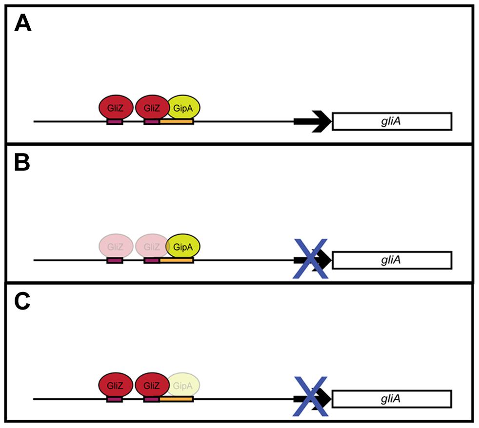 Model for <i>gliA</i> regulation involving GliZ and GipA.