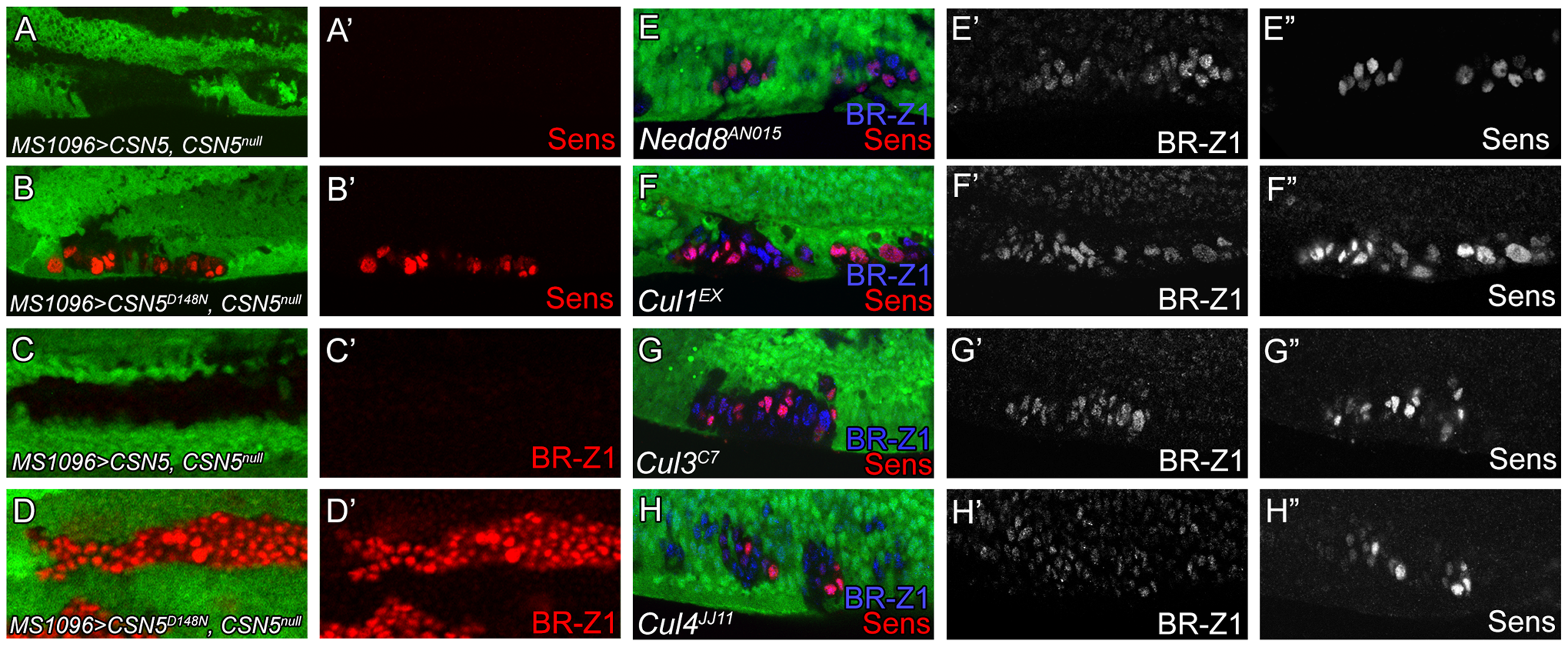 Deneddylation/neddylation and multiple cullins suppress BR-Z1 and Sens expressions at the PWM.