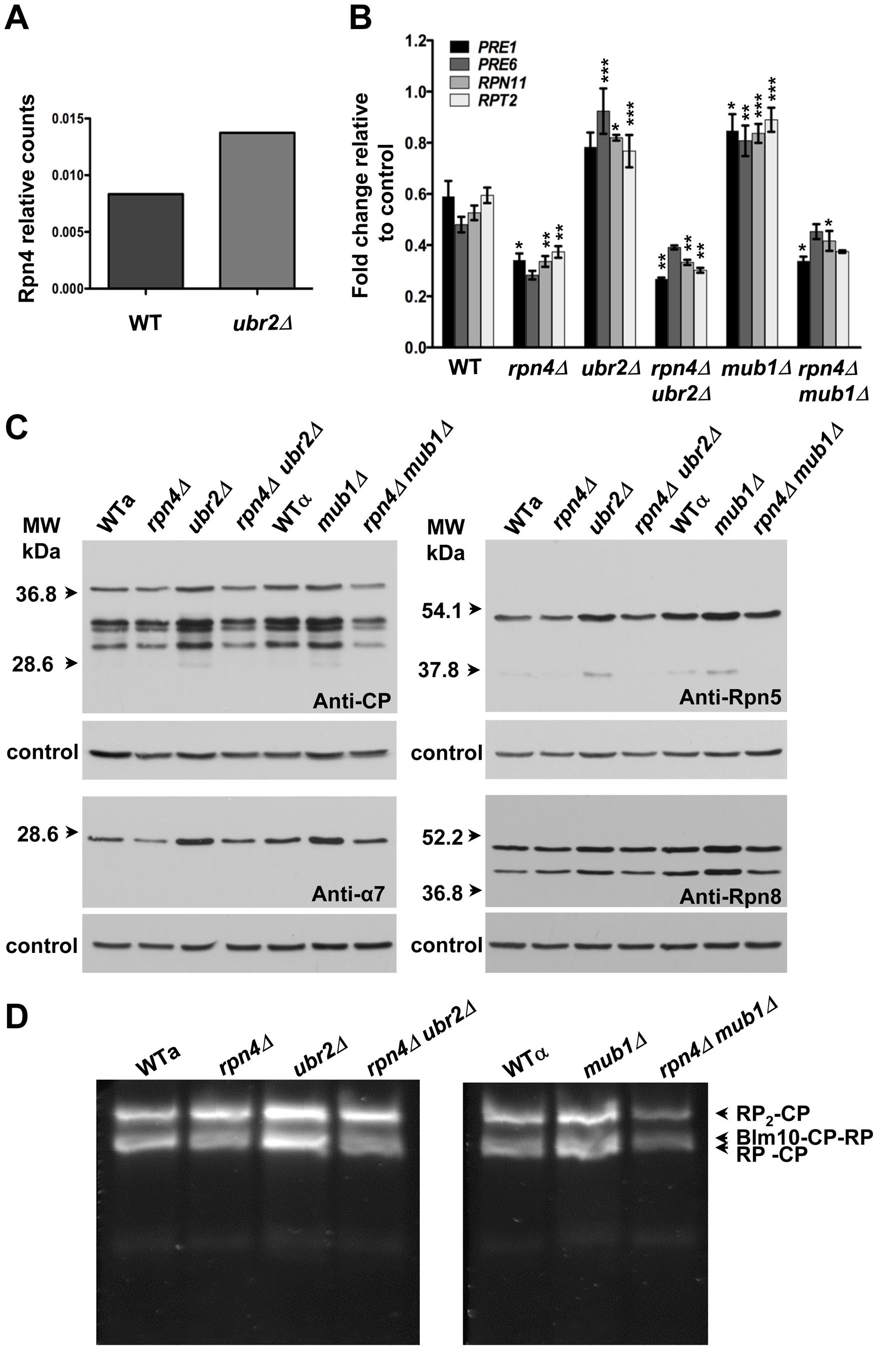 Extended proteasome biogenesis and subunit abundance upon loss of <i>UBR2</i> or <i>MUB1.</i>