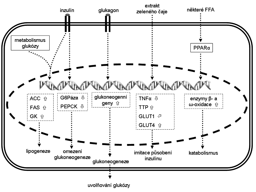 Změna exprese vybraných genů v hepatocytech a jejich (pato)fyziologický efekt Šipka  značí zvýšenou expresi, šipka  sníženou expresi a šipka  mírně zvýšenou expresi. ACC – acetyl-CoA-kaboxyláza, FAS – syntáza mastných kyselin,  FFA – volné mastné kyseliny, G6Páza – glukózo-6-fosfatáza, GK – glukokináza, GLUT – glukózový transportér z rodiny SLC2A,  PEPCK – fosfoenolpyruvát karboxykináza, PPAR – peroxizomální receptor aktivovaný proliferátory, TNF-α – tumor necrosis factor α, TLR4 – toll-like receptor 4