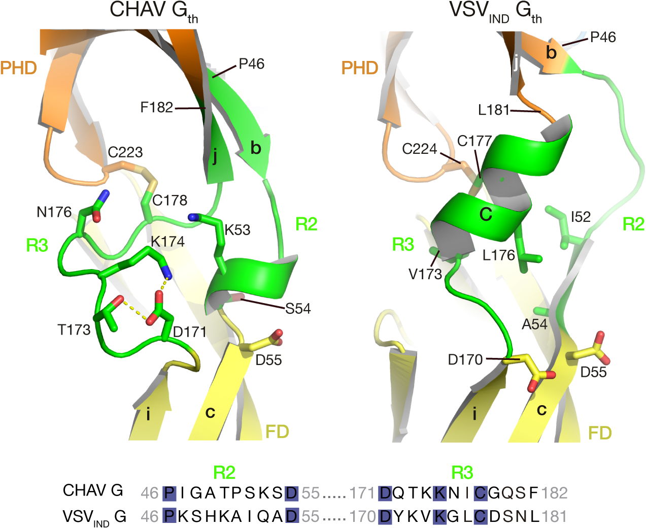 Ribbon representation of CHAV-G and VSV<sub>IND</sub>-G R2-R3 hinge regions.