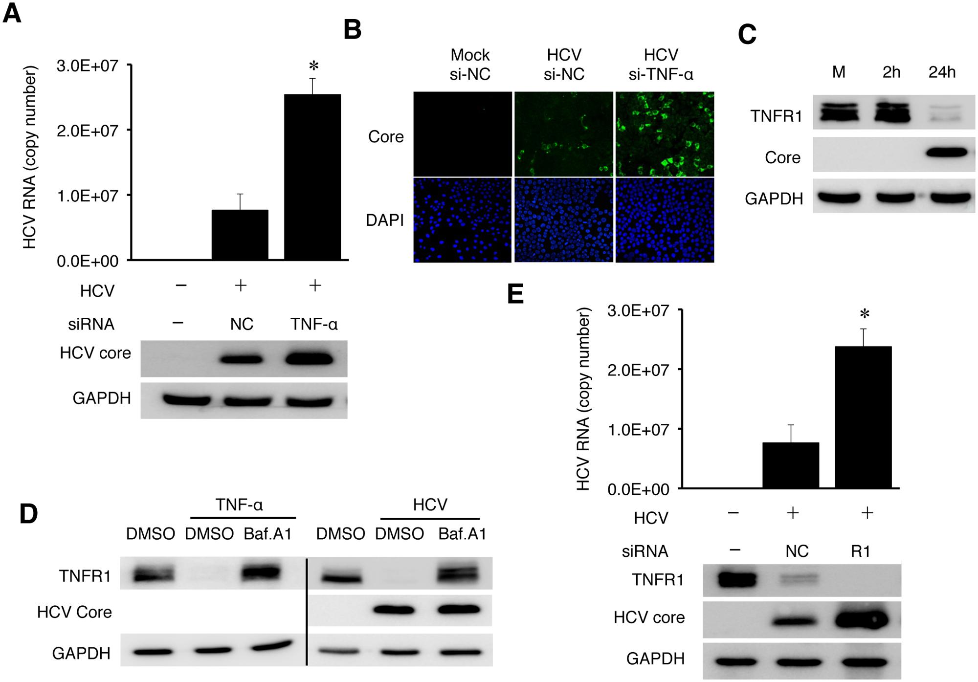TNF-α knockdown enhanced HCV replication.