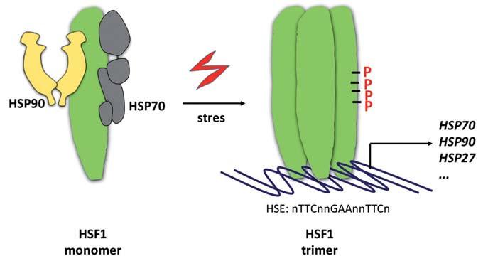 Aktivace HSF1. Transkripční faktor HSF1 se vyskytuje v nestresovaných buňkách jako monomer v inhibičním komplexu s chaperony HSP70 a HSP90. Stresové podmínky vedou k disociaci molekulárních chaperonů a trimerizaci HSF1. Transkripčně aktivní forma HSF1 je pak dále modifikována fosforylacemi (P) a vyhledává svá vazebná místa (heat-shock elements – HSE) v promotorech genů. Mezi HSF1-řízené patří také geny kódující HSP70, HSP90 a HSP27. Jejich syntézou se uzavírá zpětnovazebná regulační smyčka aktivity HSF1.