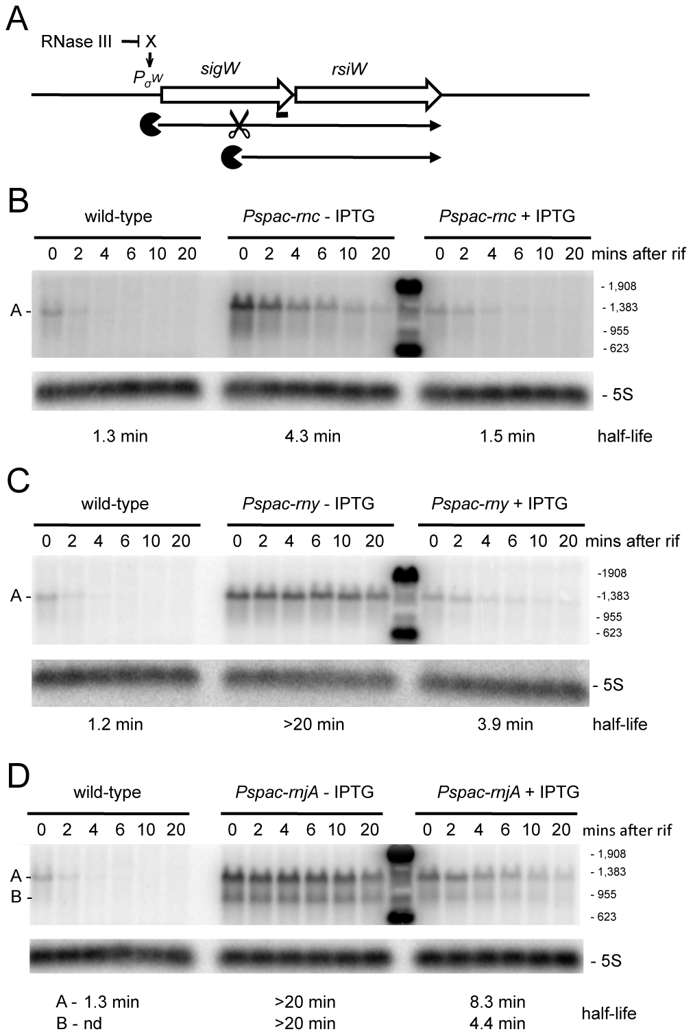 Degradation of the <i>sigW-rsiW</i> mRNA depends on RNase Y and RNase J1, while its transcription is dependent on RNase III.