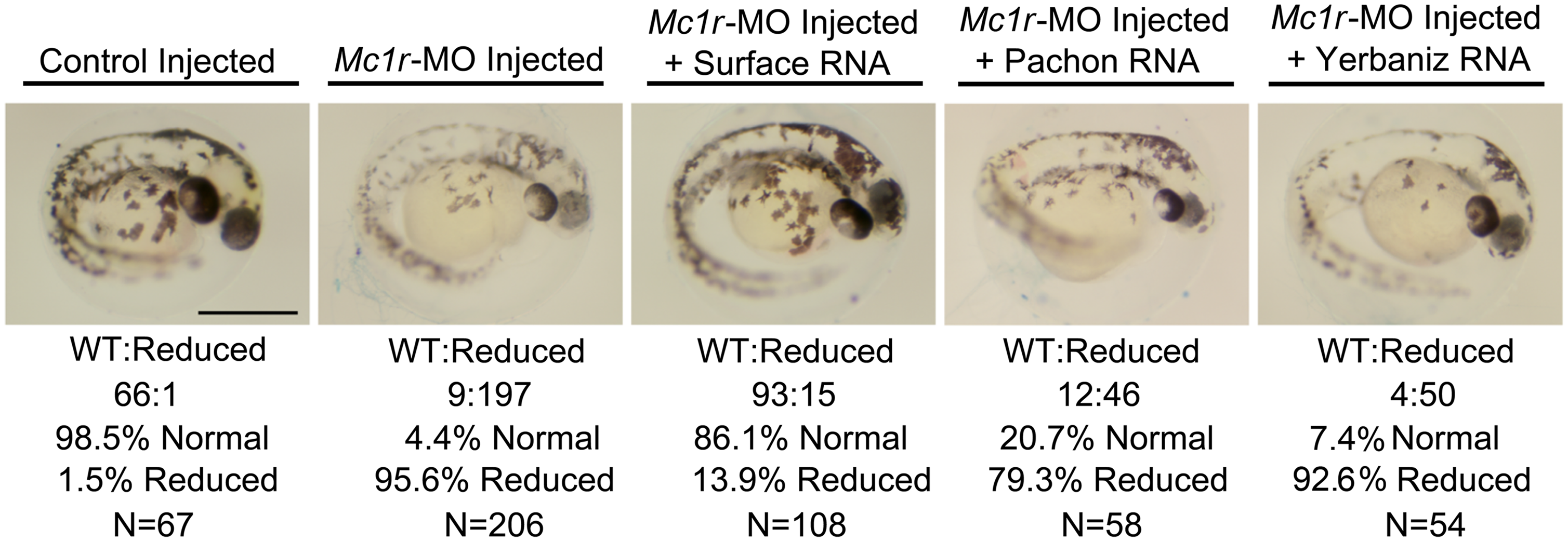 The brown mutation is recapitulated in <i>Mc1r</i>-MO knockdown experiments and is rescued by the Surface form of <i>Mc1r</i> in the zebrafish.