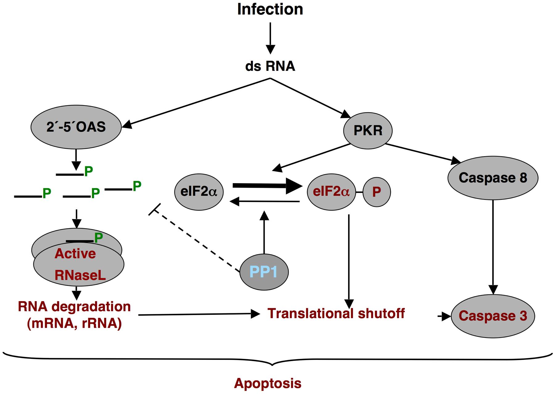 dsRNA induced antiviral pathway.