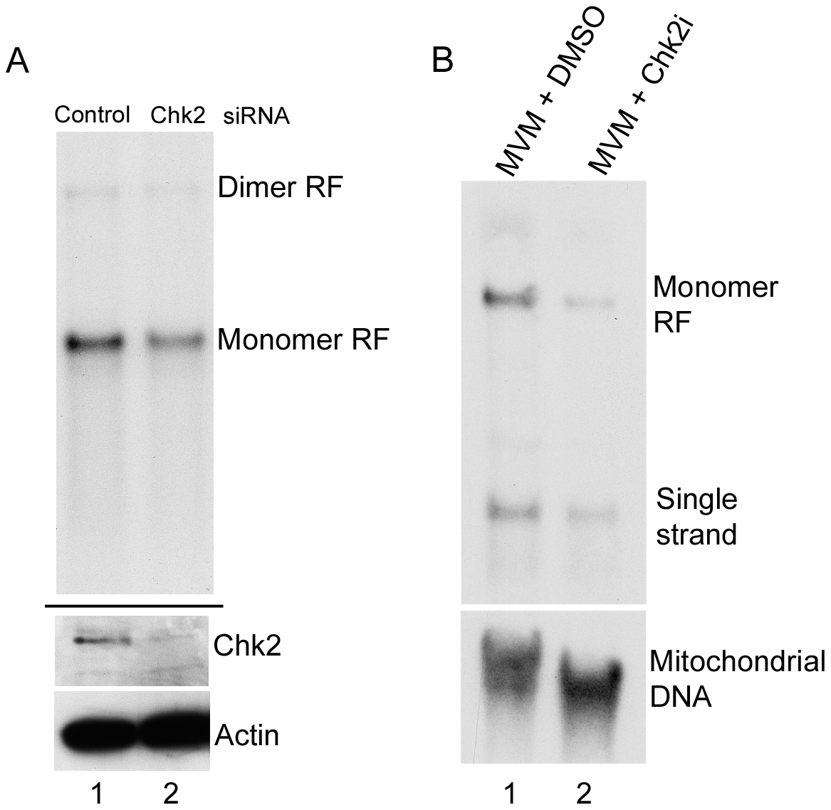 Chk2-mediated S-phase arrest facilitates MVM replication.